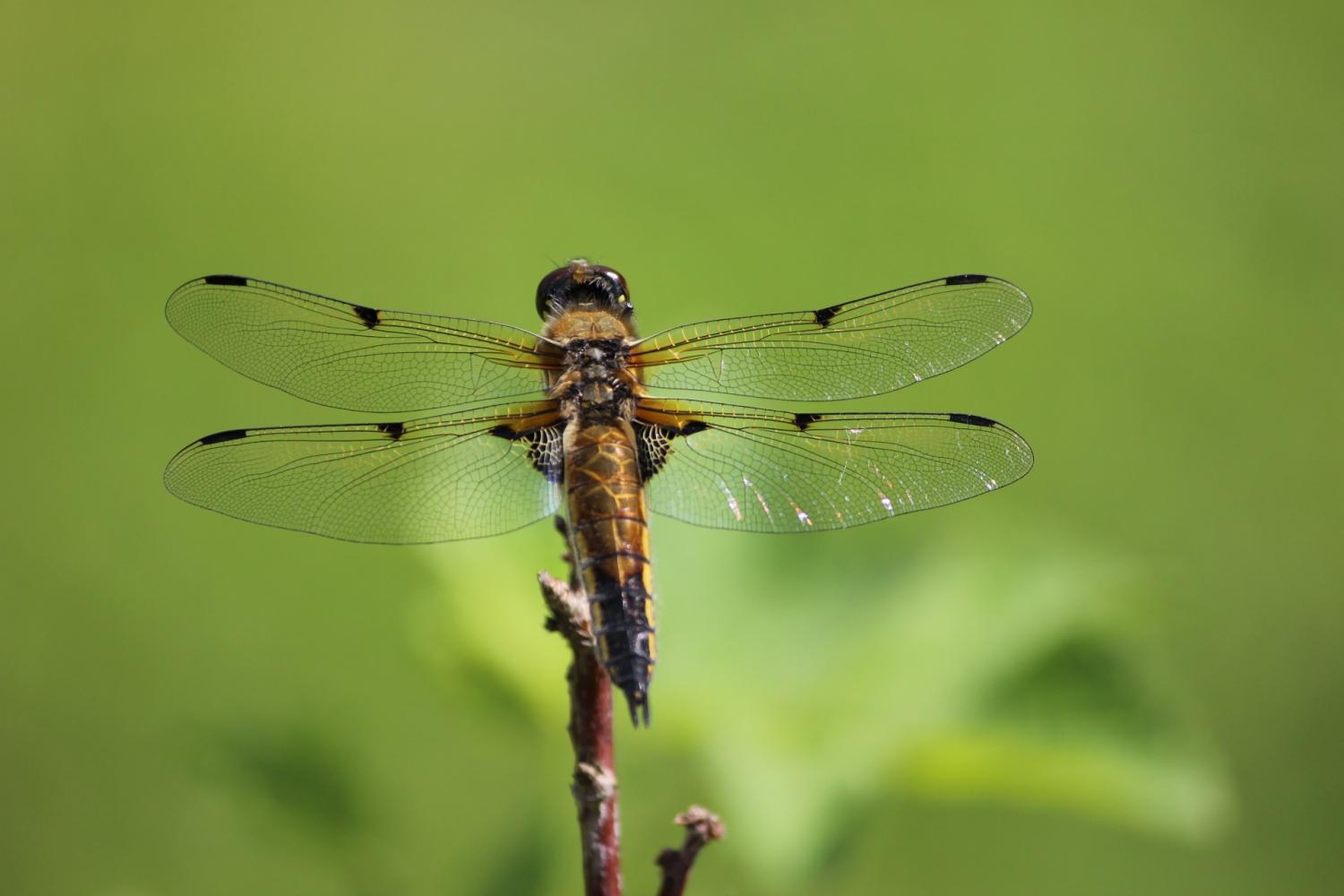Male dragonflies lose their 'bling' in hotter climates