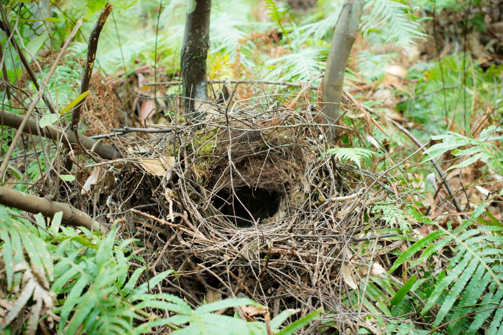 Is Australia The Birthplace Of Birds Nests