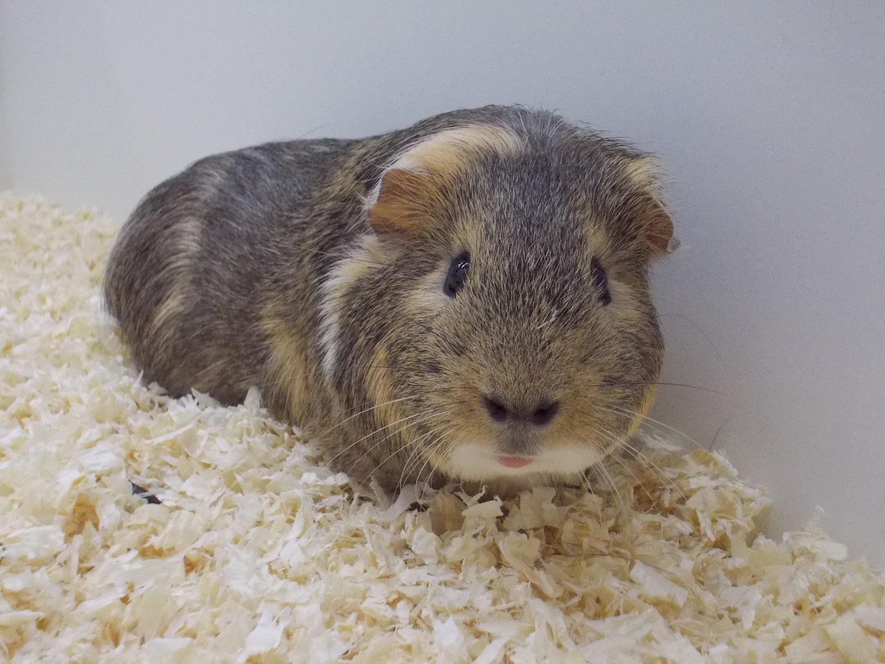 Fight Or Flight Sexual Cycle Determines The Behaviour Of Female Guinea Pigs