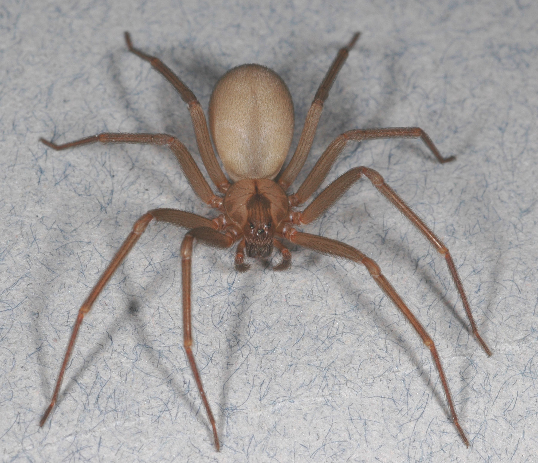 brown recluse  pest management tips for the spider that u0026 39 s