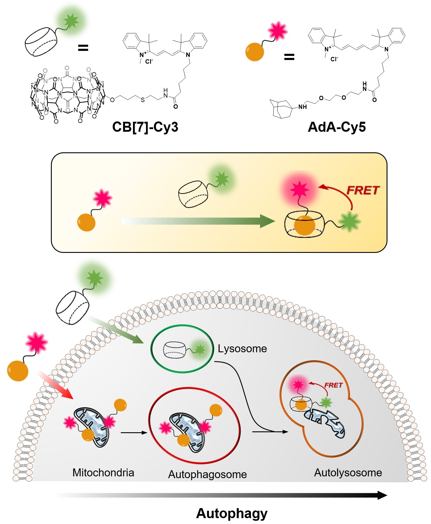 Impaired Recycling Of Mitochondria In >> Cellular Recycling Caught In The Act