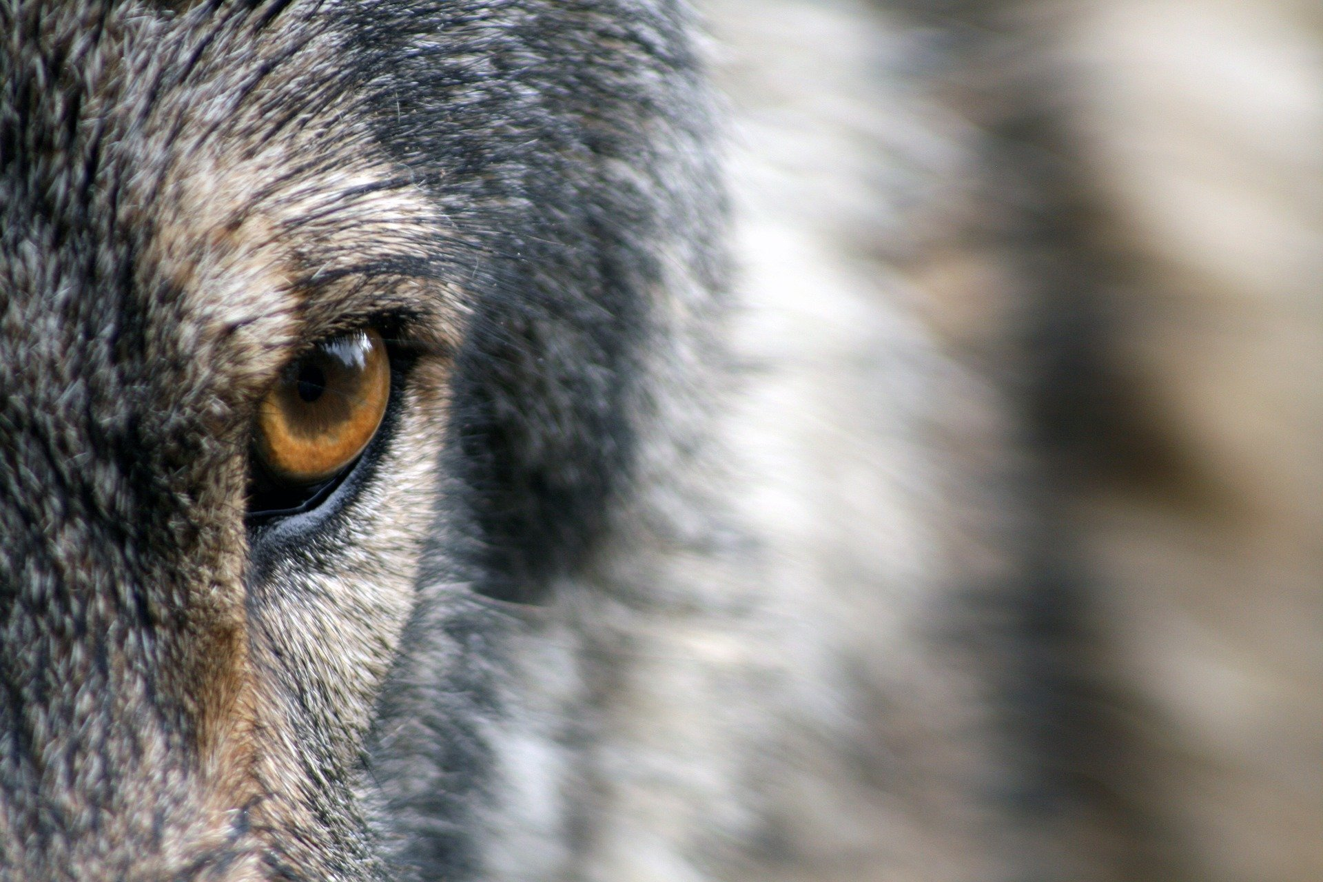 Park service looks to solve mystery deaths of Isle Royale wolves