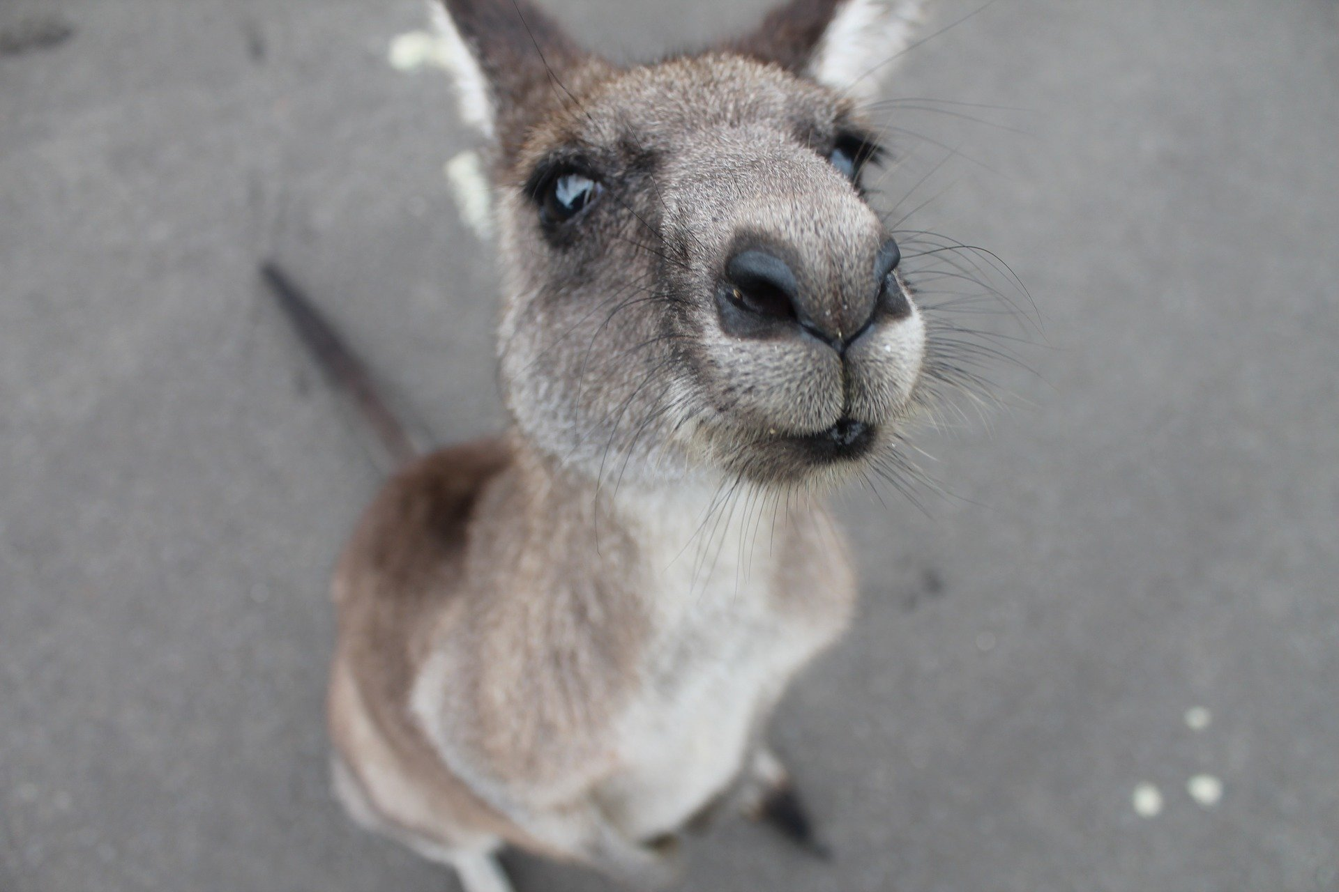 Australian animals under extreme stress in drought, bushfires