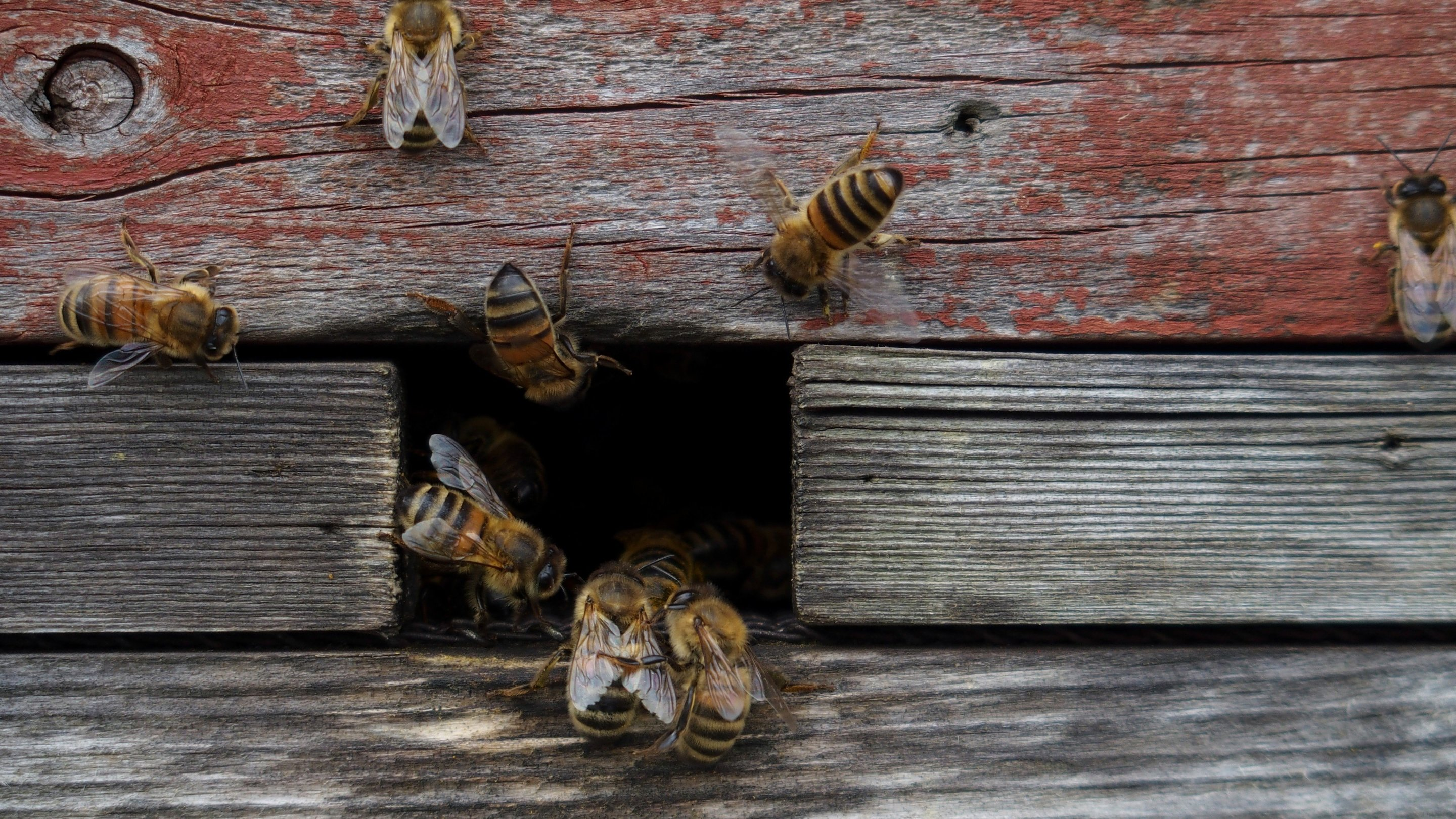 Keeping Honeybees Doesn T Save Bees Or The Environment