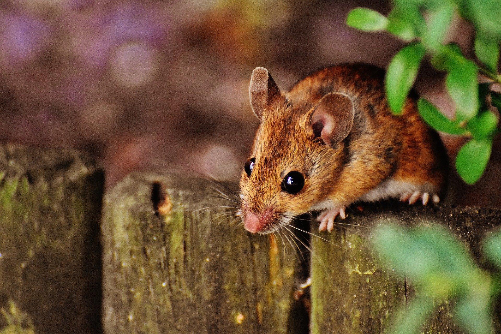 Treatment Restores Sociability In >> Scientists Tie Specific Brain Circuit To Sociability In Mice
