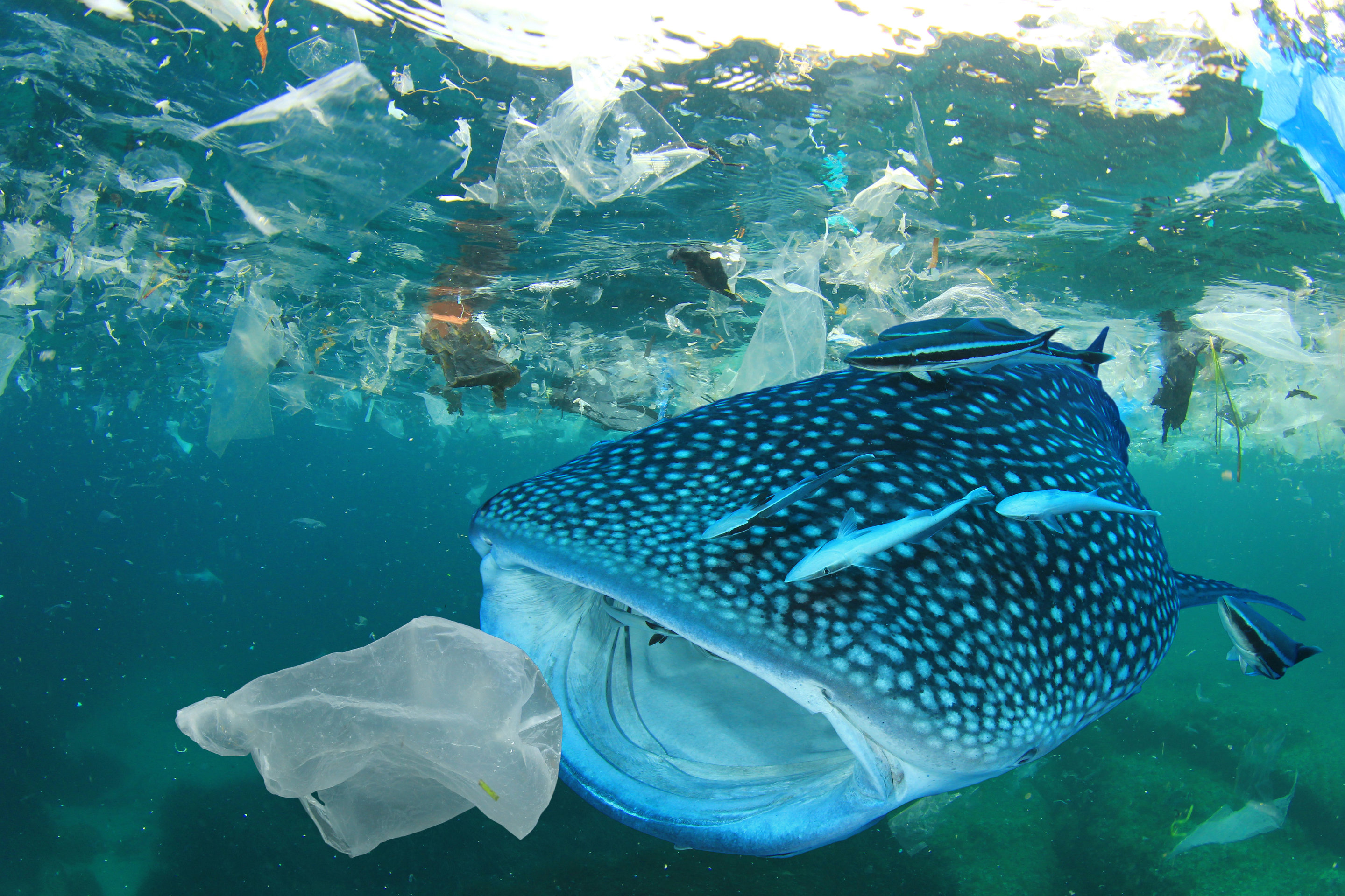 Image result for plastic in fish