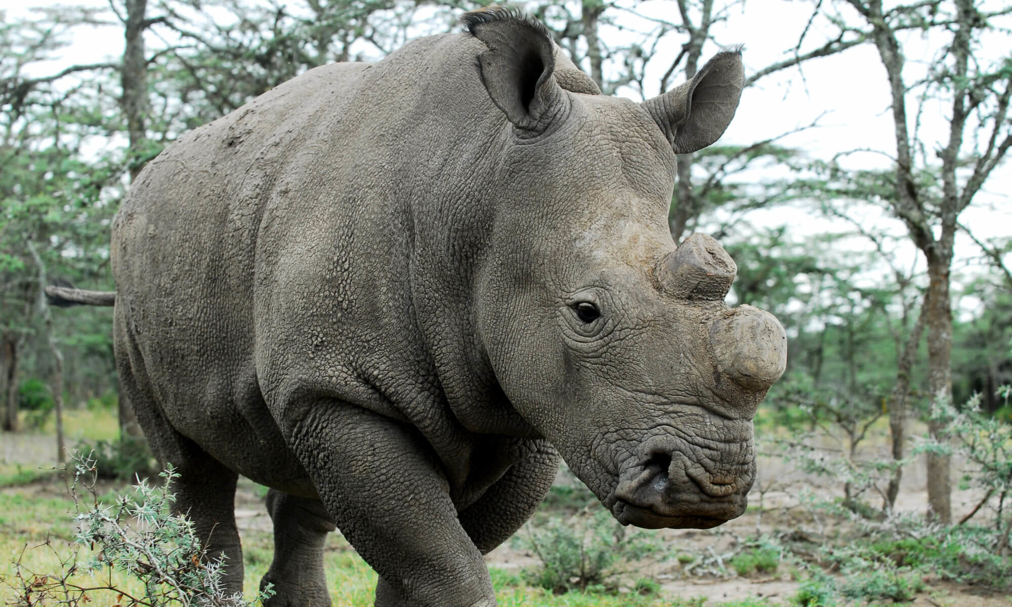 Resurrection of the northern white rhino – could this be the ...