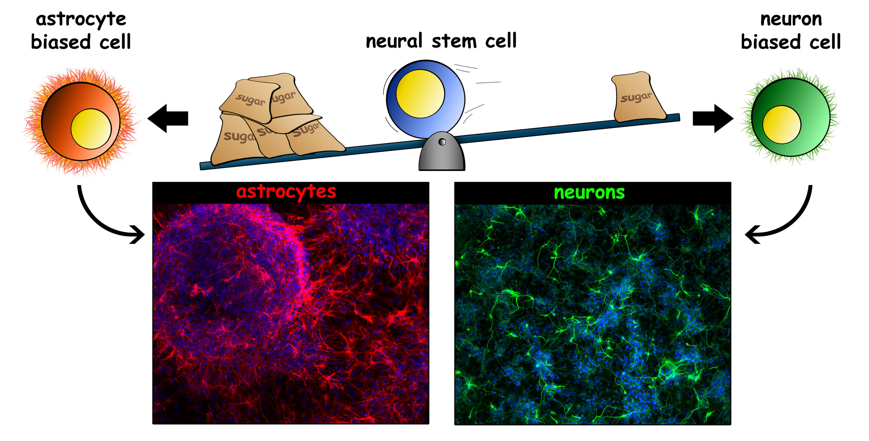 Research identifies properties of stem cells that determine cell fate