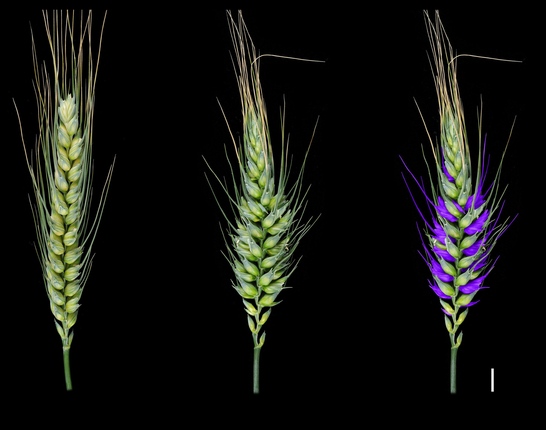 Diversitatea genetică mărește randamentul culturilor de cereale