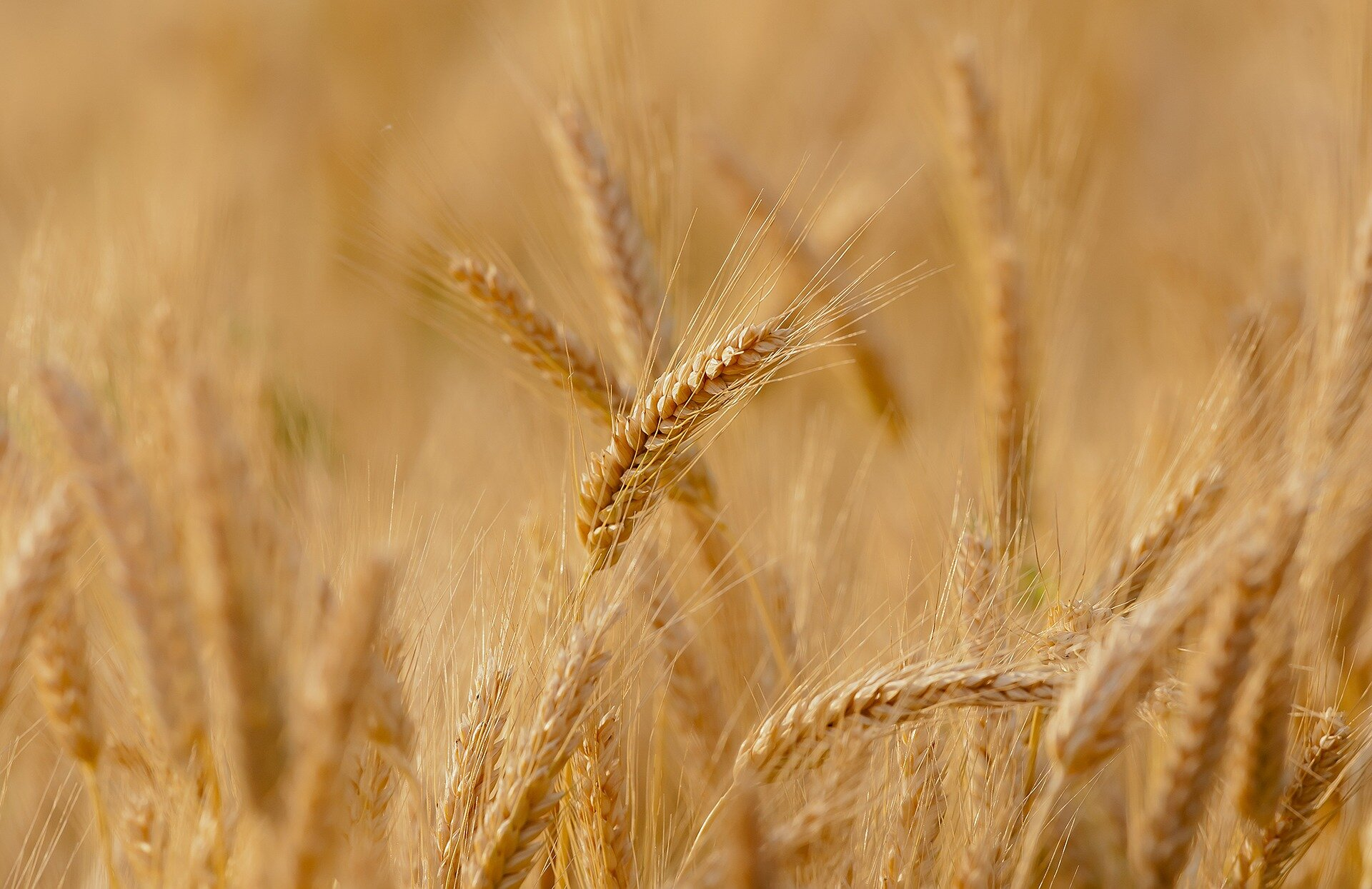 New research accurately predicts Australian wheat yield months before harvest