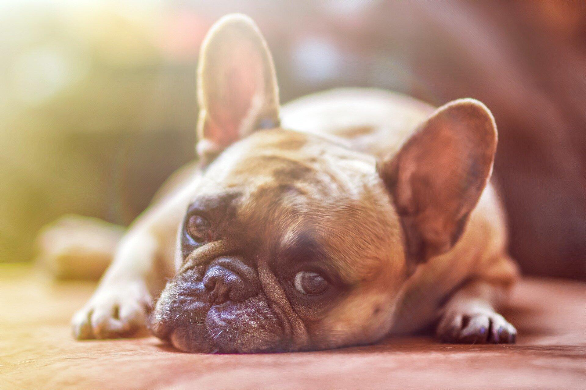Researchers find CBD improves arthritis symptoms in dogs