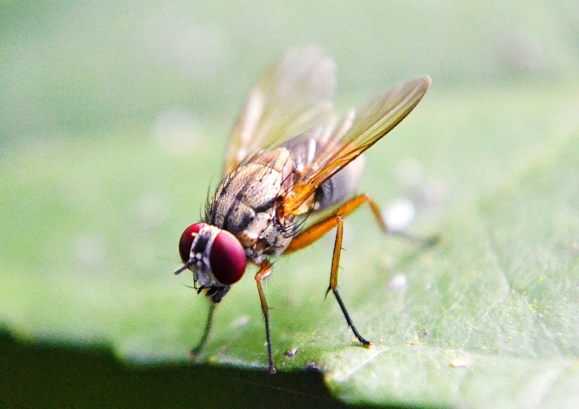 photo of How a male fly knows when to make a move on a mate image
