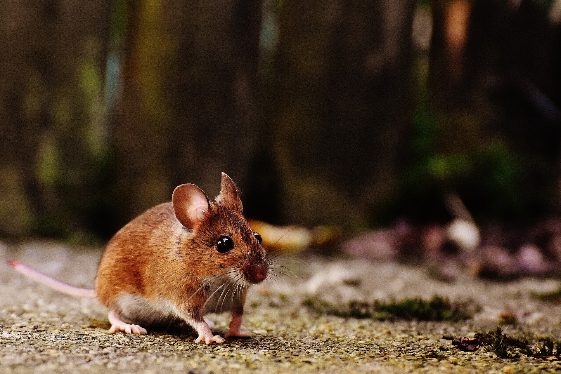 Mice treated with this cytokine lose weight by 'sweating' fat