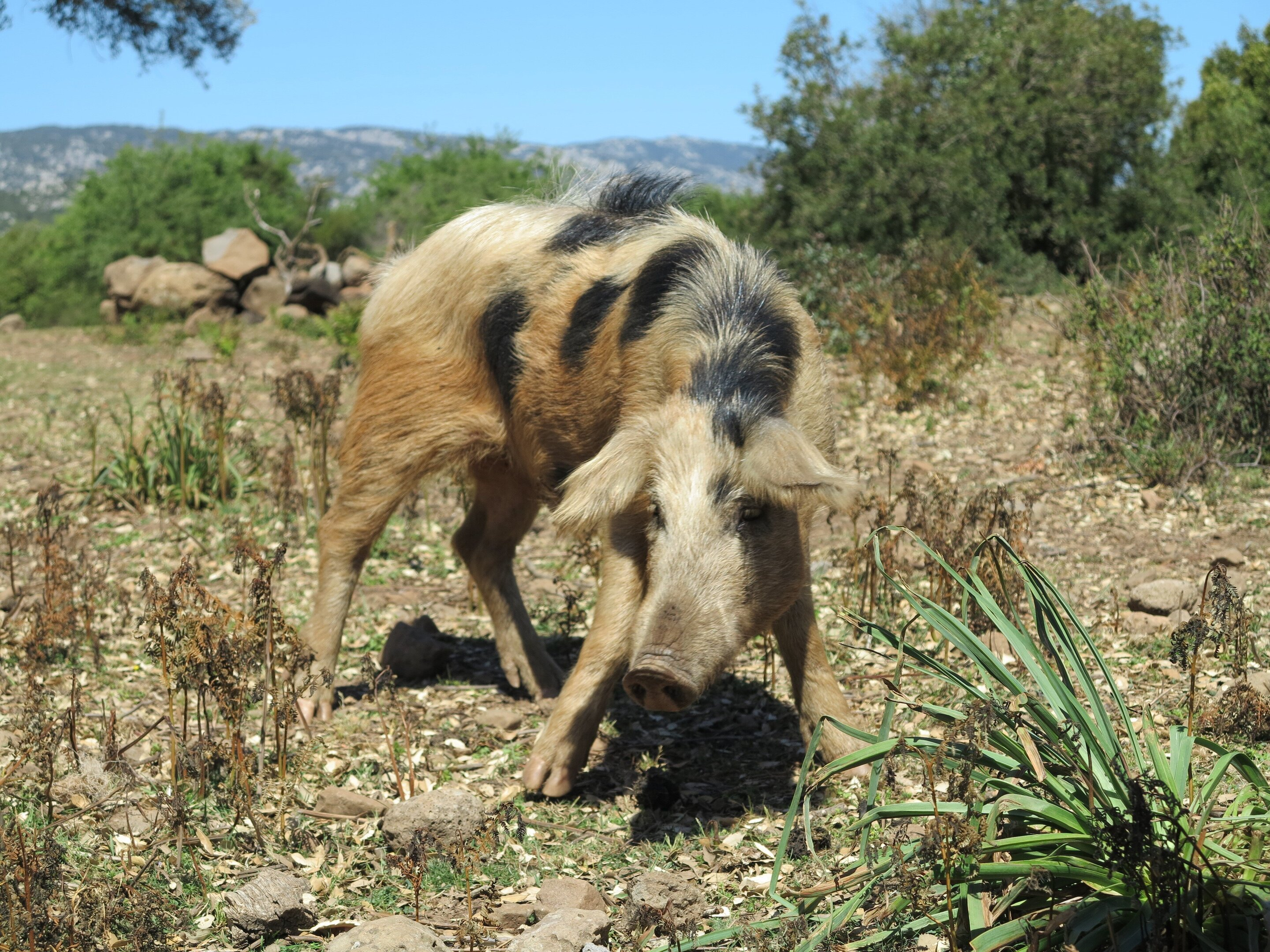 Ancient Pigs Endured A Complete Genomic Turnover After They Arrived In Europe
