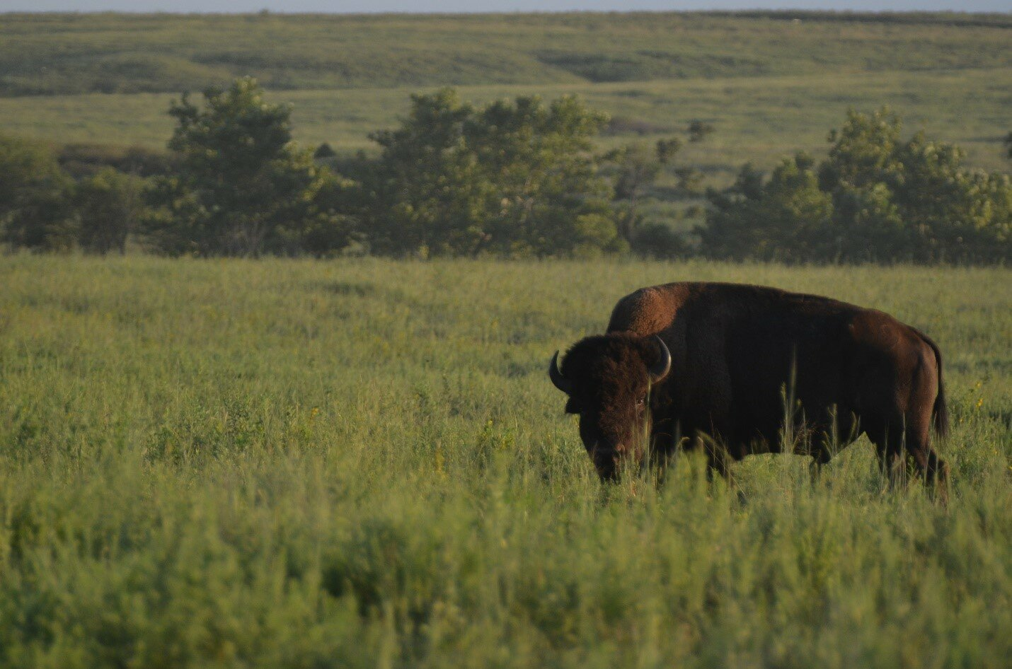 bison are back and that benefits many other species on