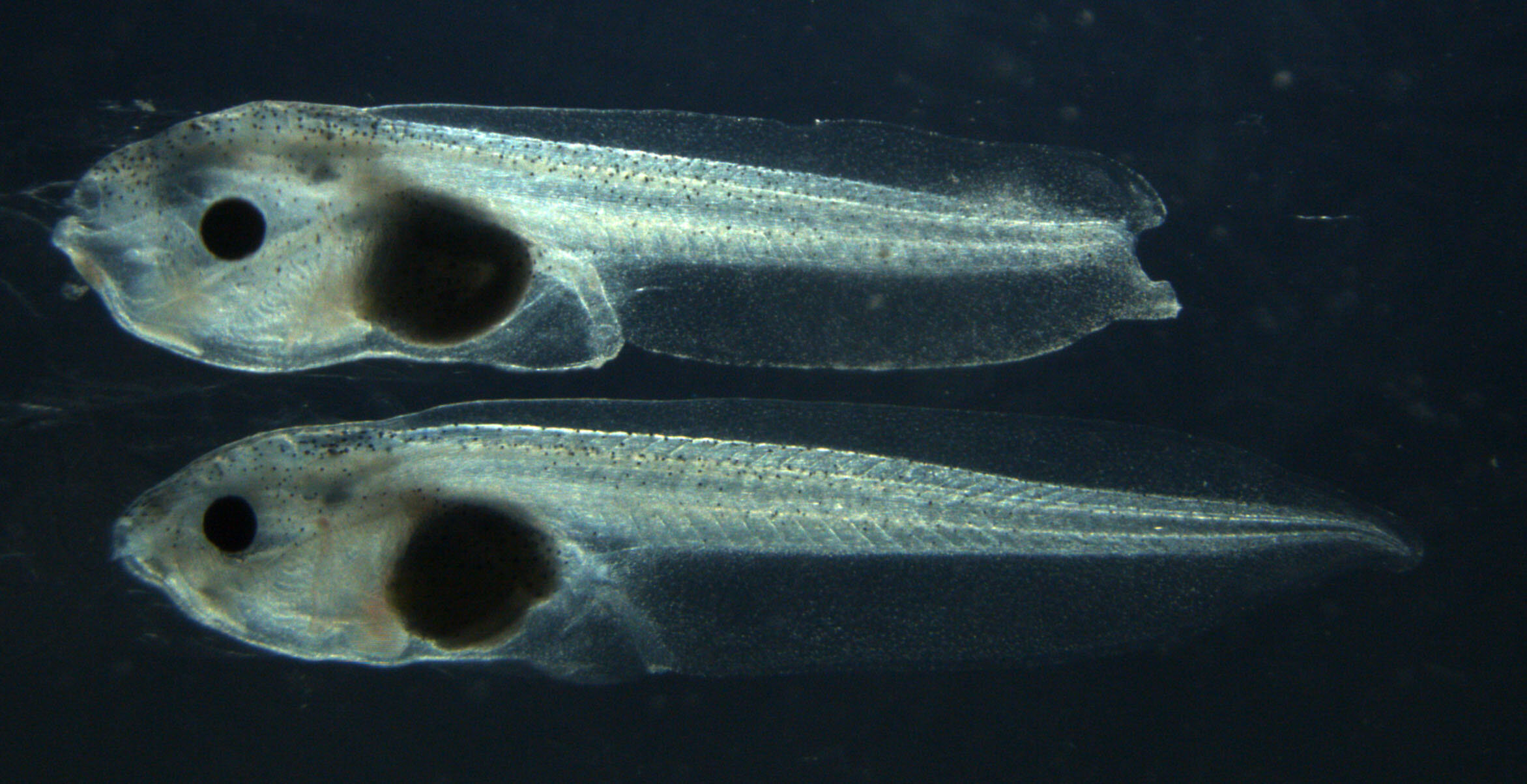 By cutting out one gene, researchers remove a tadpole's ability to regenerate