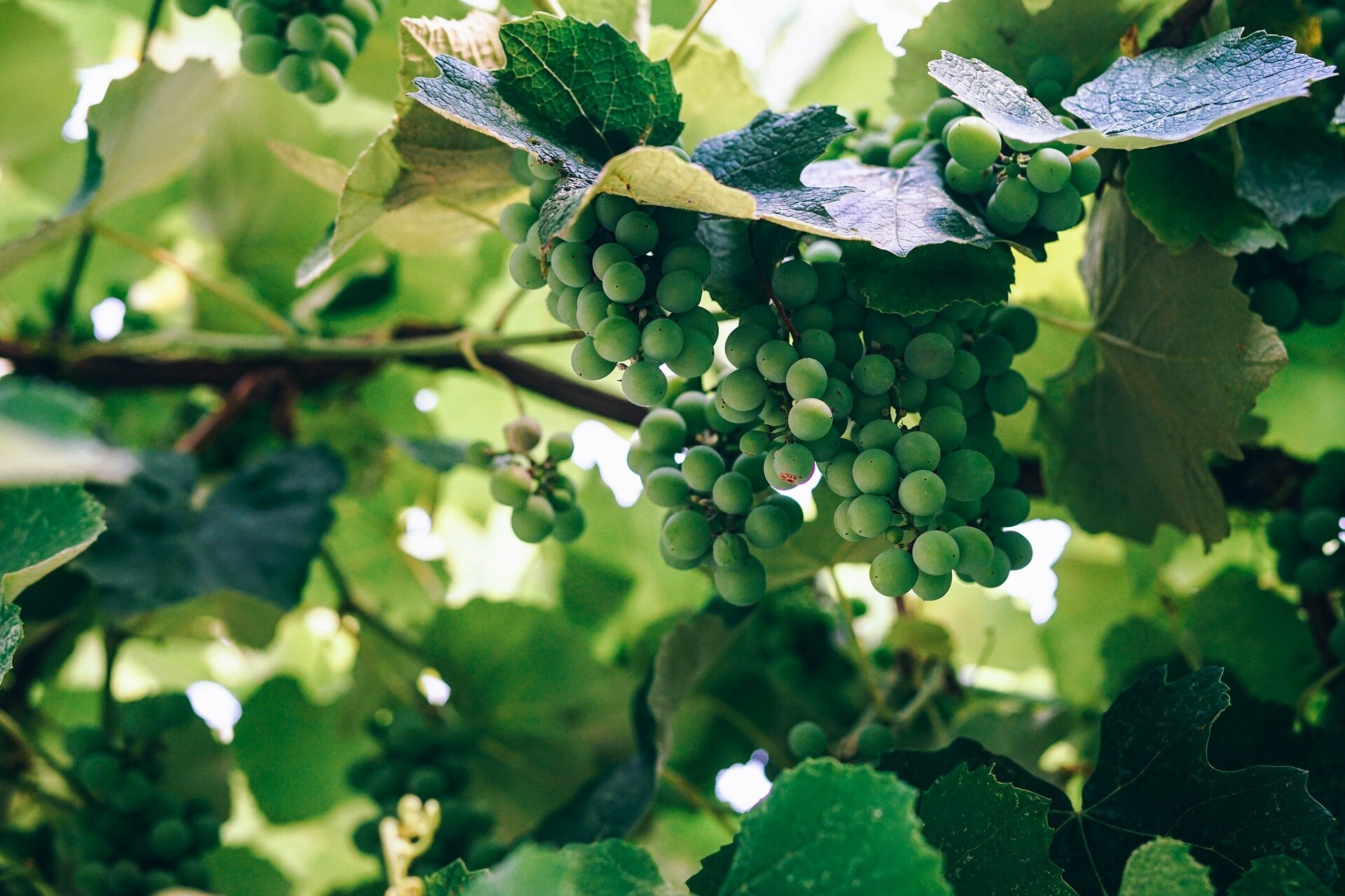 Finding new life for wine-grape residue