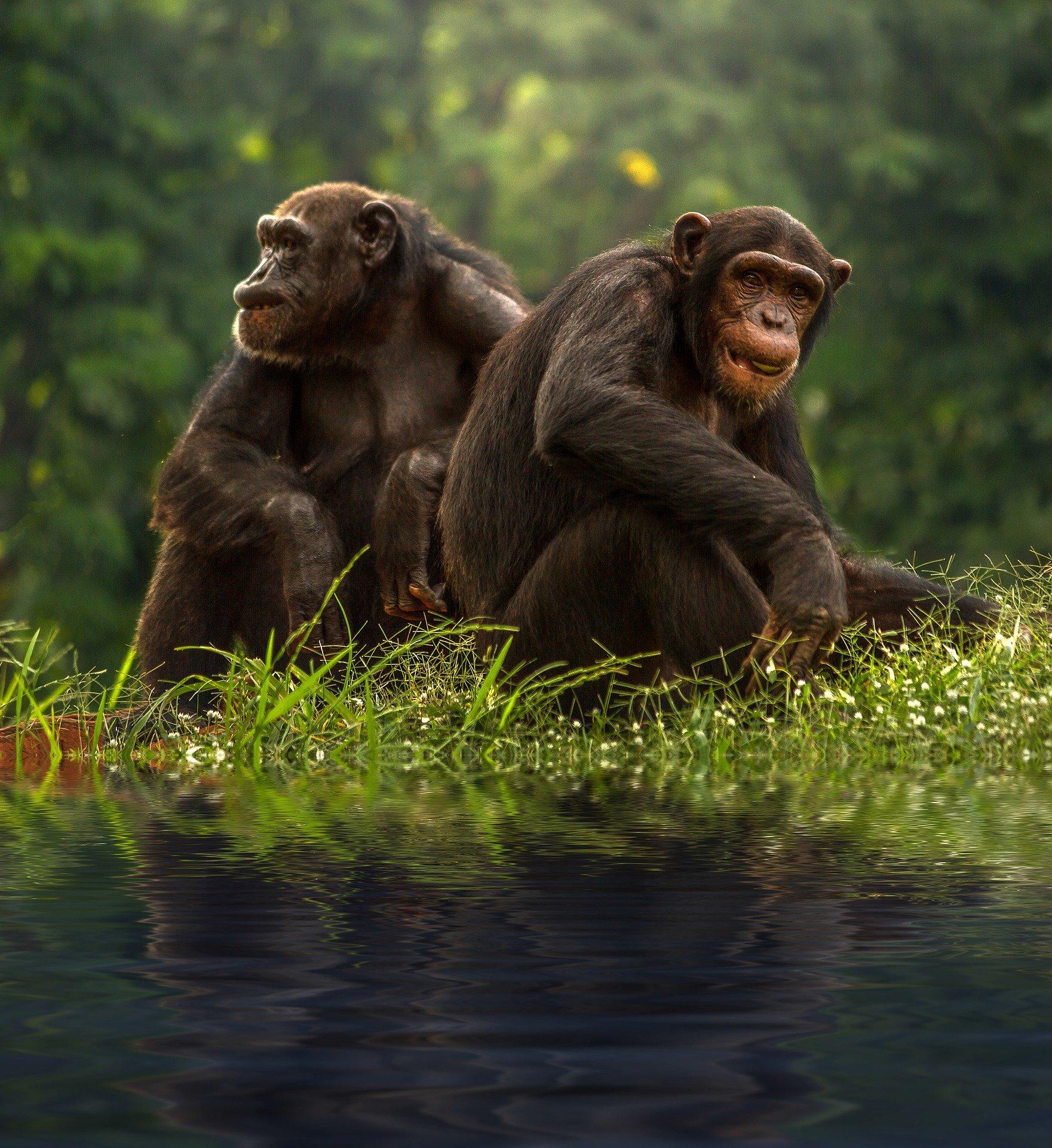 Chimp deaths at Sierra Leone sanctuary linked to a bacterium