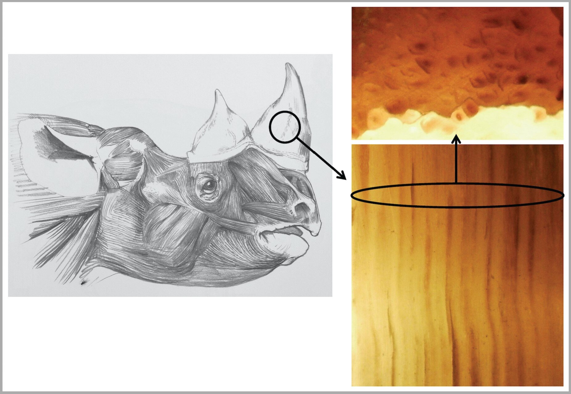 photo of Creating fake rhino horn with horse hair to help in saving the endangered rhino image