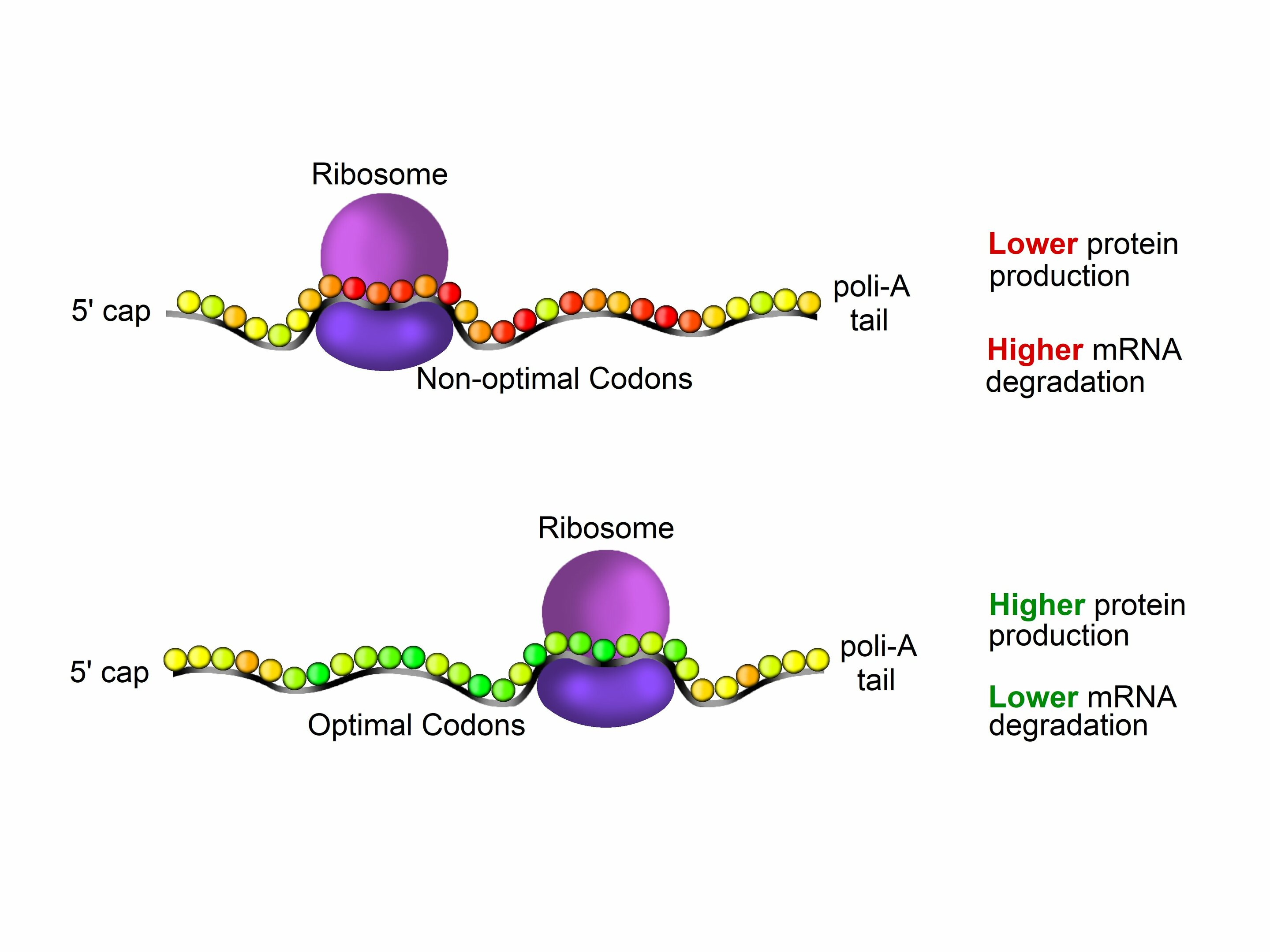 Protein production efficiency can be predicted by gene sequence