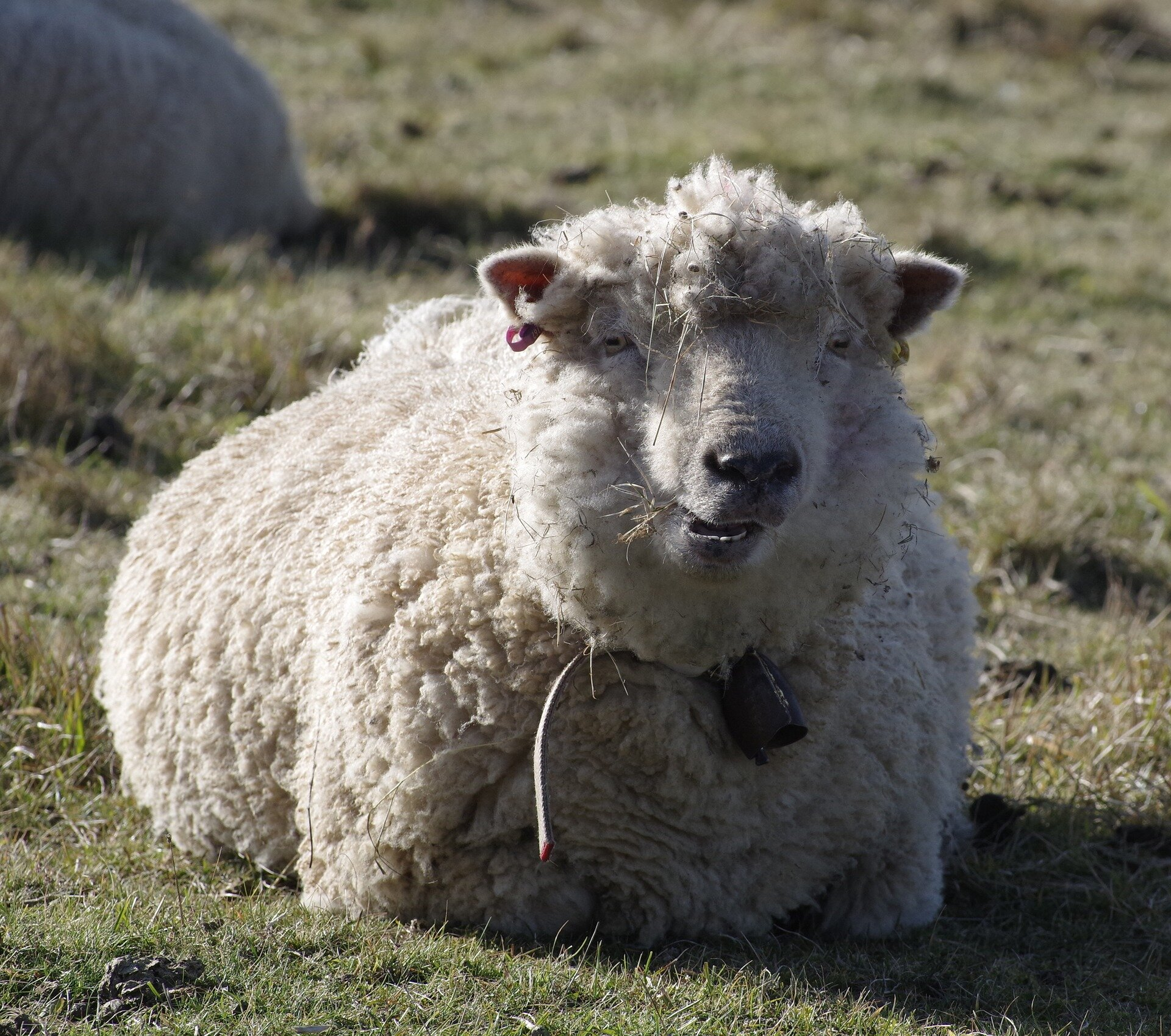 World First Study Finds Merino Sheep Pregnancy Can Be Detected Using Wool