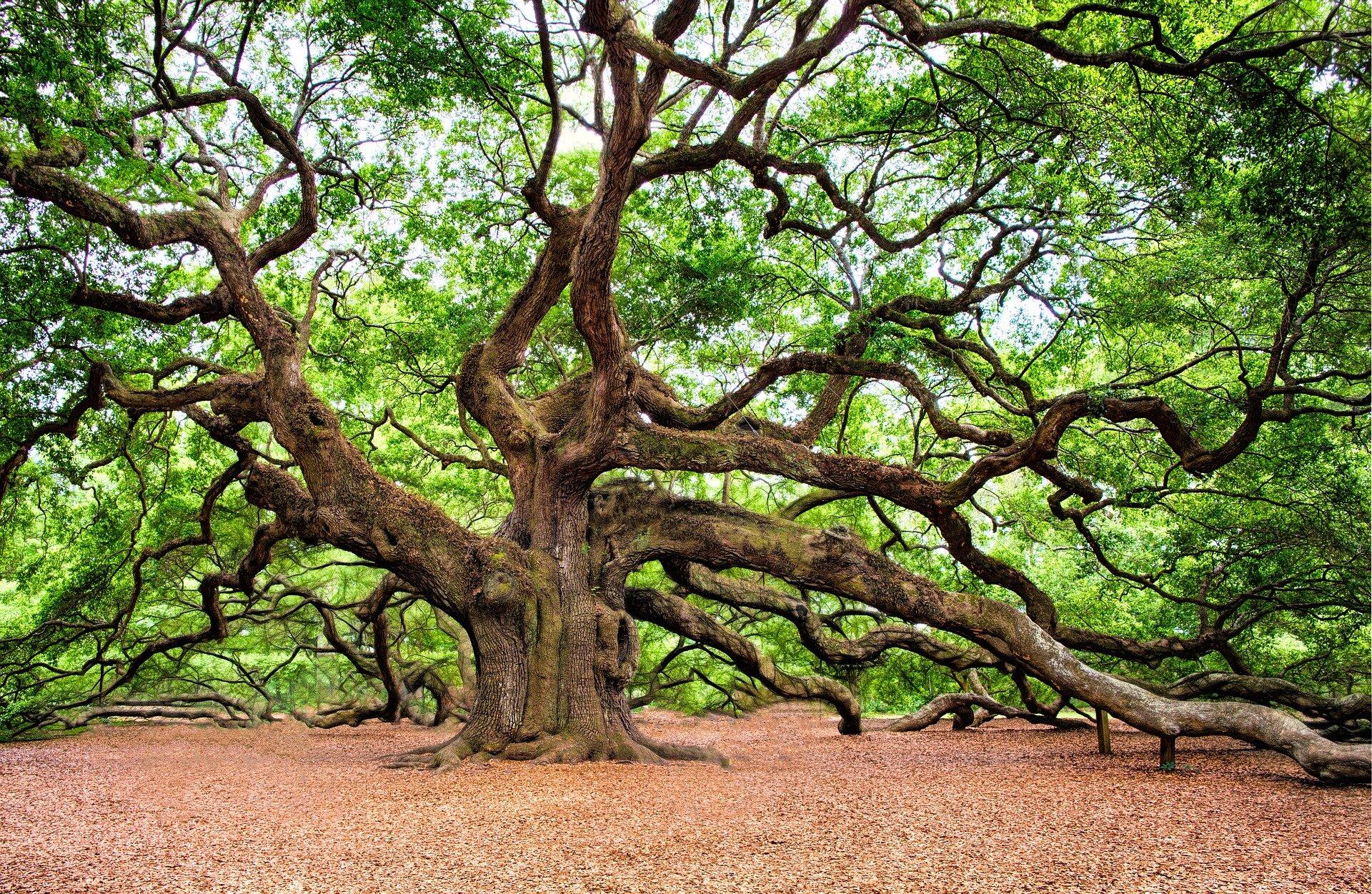 Limiting Spread Of Sudden Oak