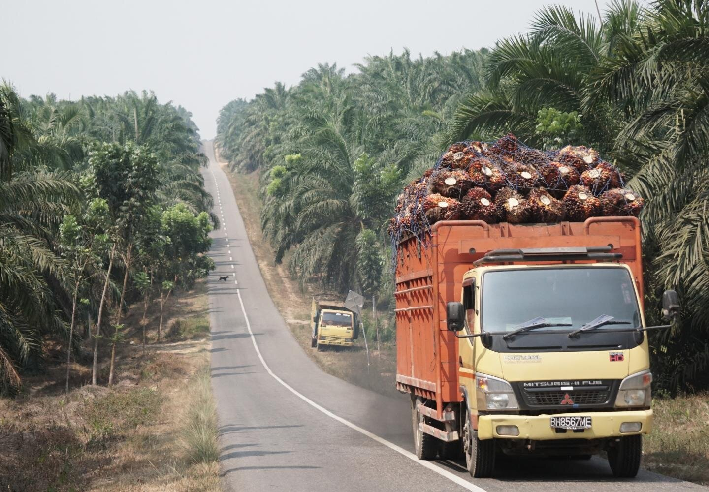 Palm oil: Less fertilizer and no herbicide but same yield?