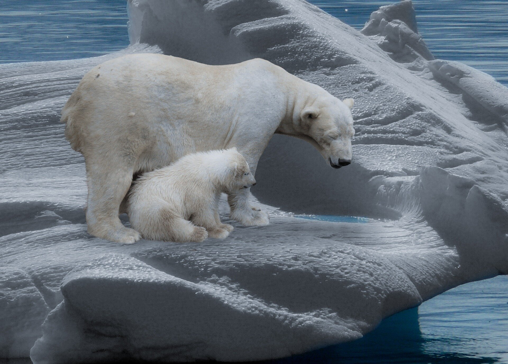 Shrinking sea ice is creating an ecological trap for polar bears