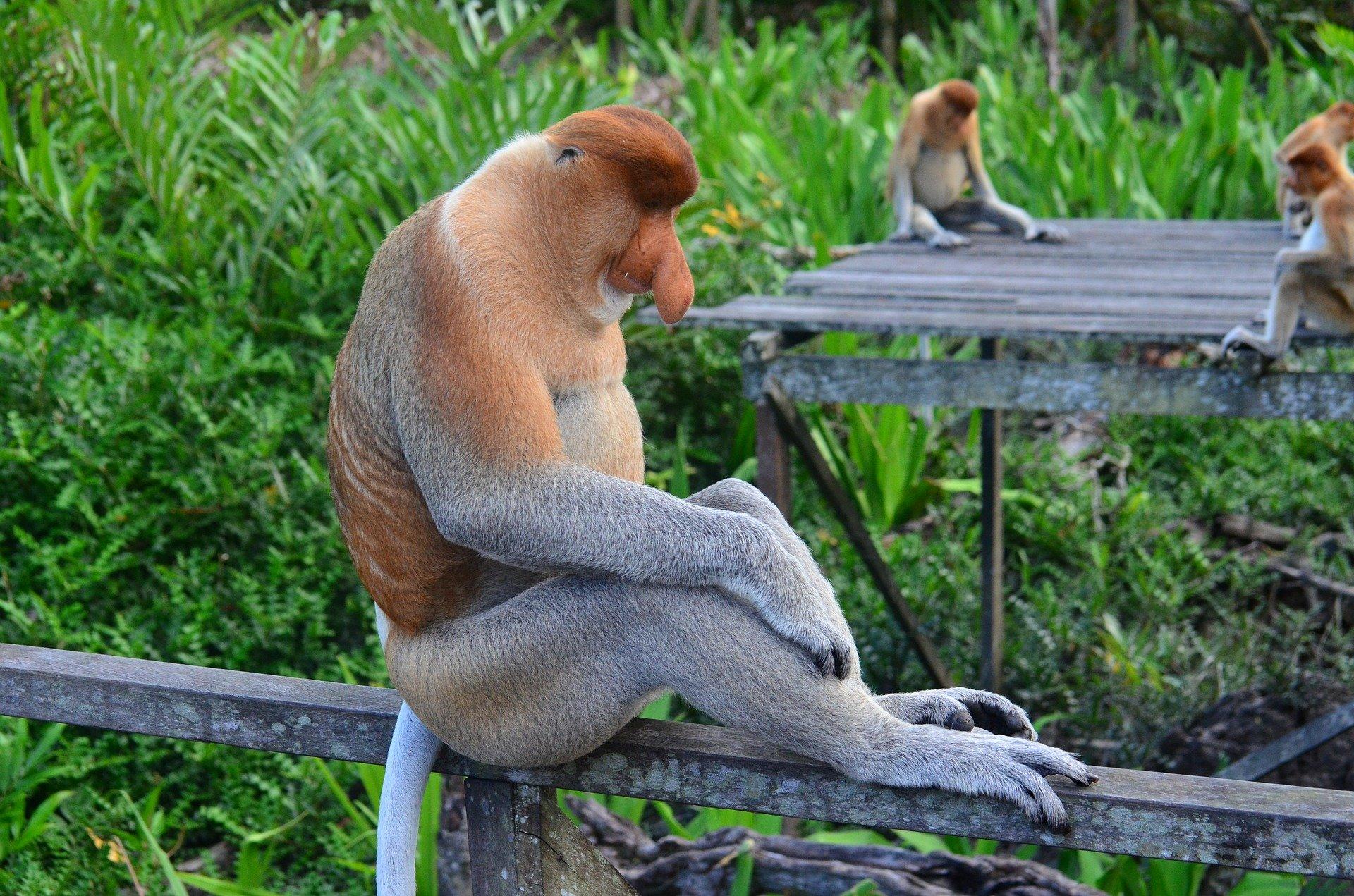 Protecting proboscis monkeys from deforestation
