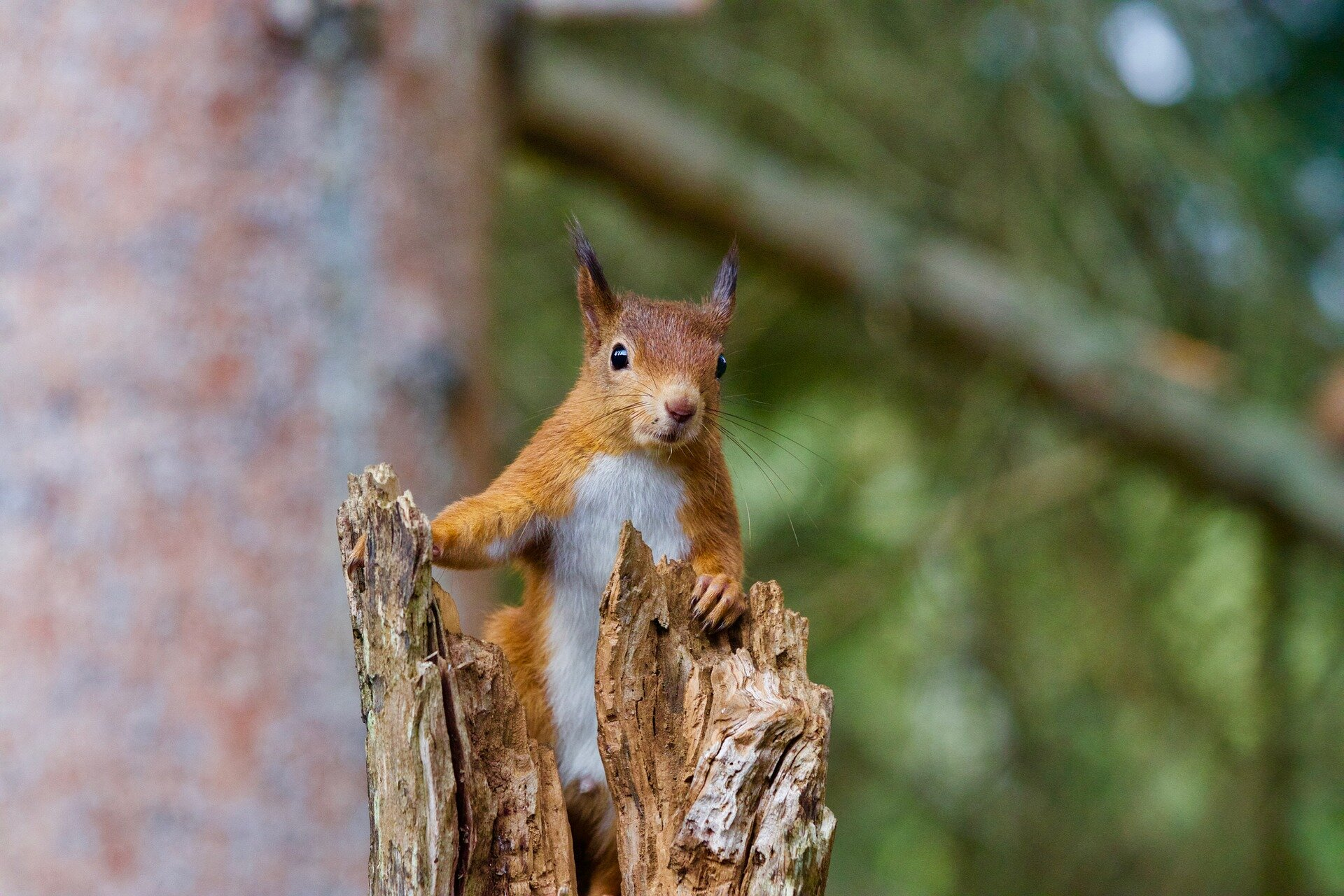 Scottish forests protective forts for red squirrels