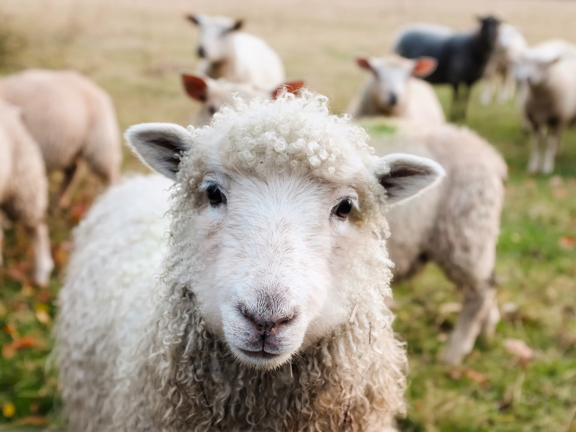 photo of Lame sheep adjust their behavior to cope with their condition, study finds image