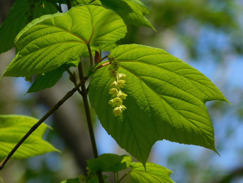 Tree Seeds Online Top Three Acers 75 Seeds 1 Packs