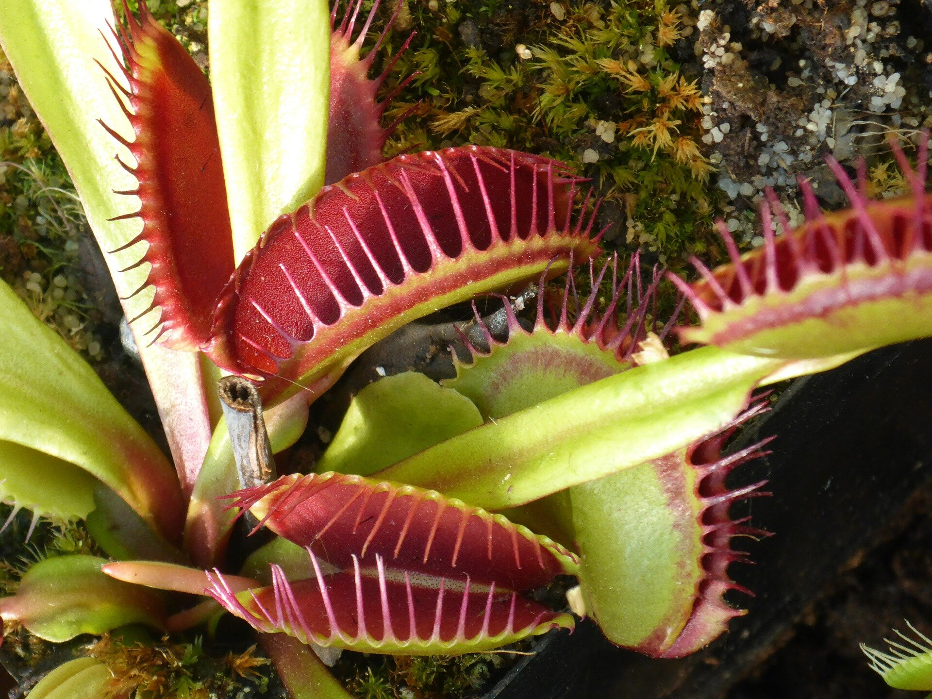 Computer-assisted Venus flytrap captures objects on demand