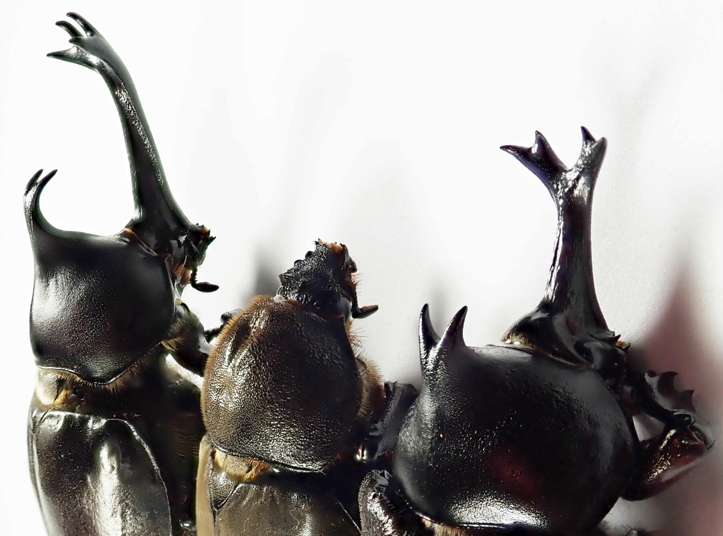 The Emergence Of Male And Female Traits In The Development Of Beetle Horns