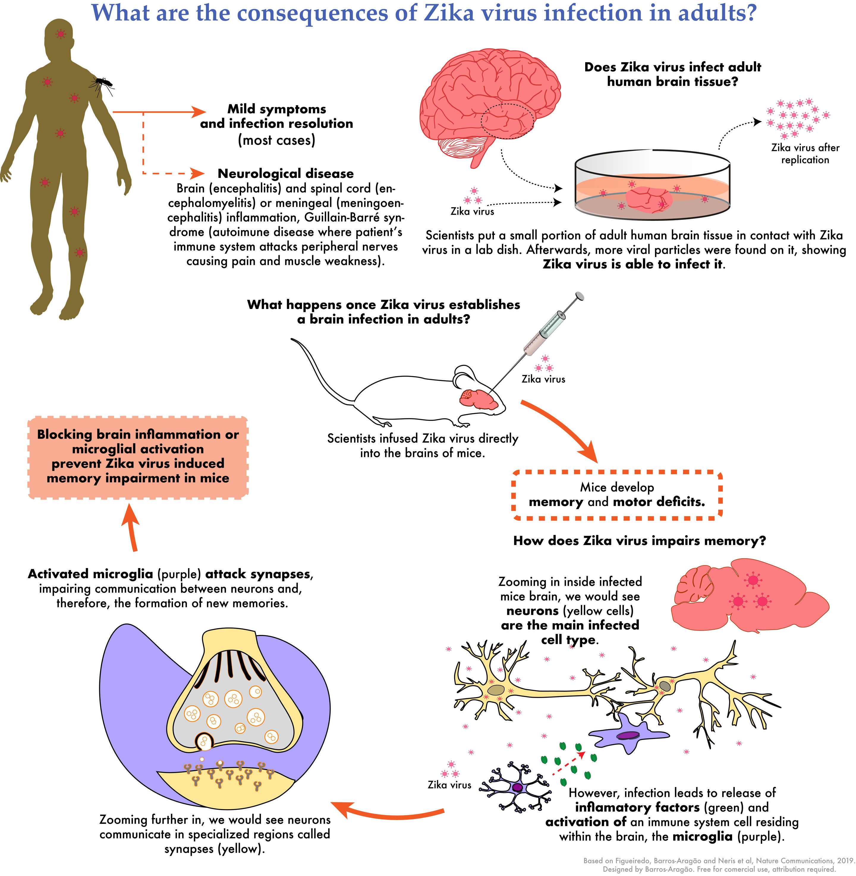 Zika virus infects the adult human brain and causes memory