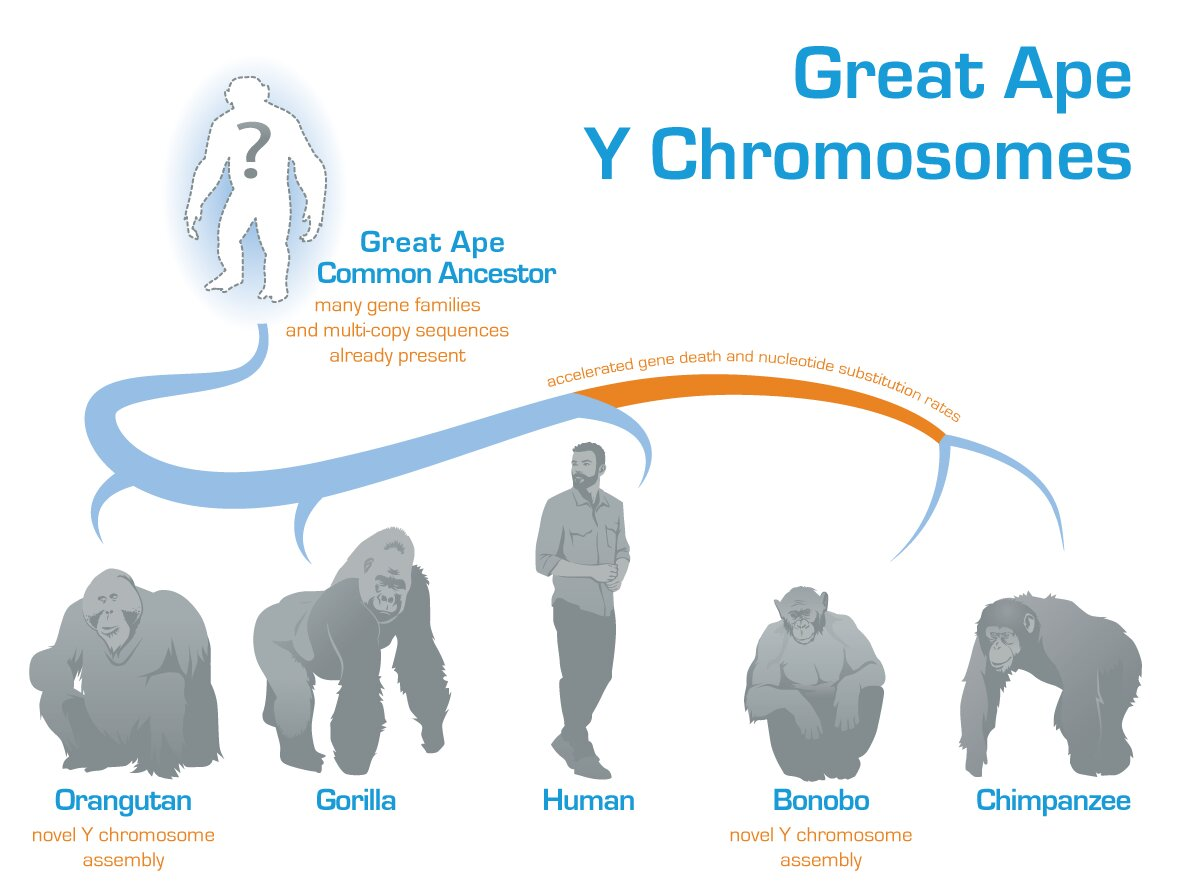 Evolution of the Y chromosome in great apes deciphered