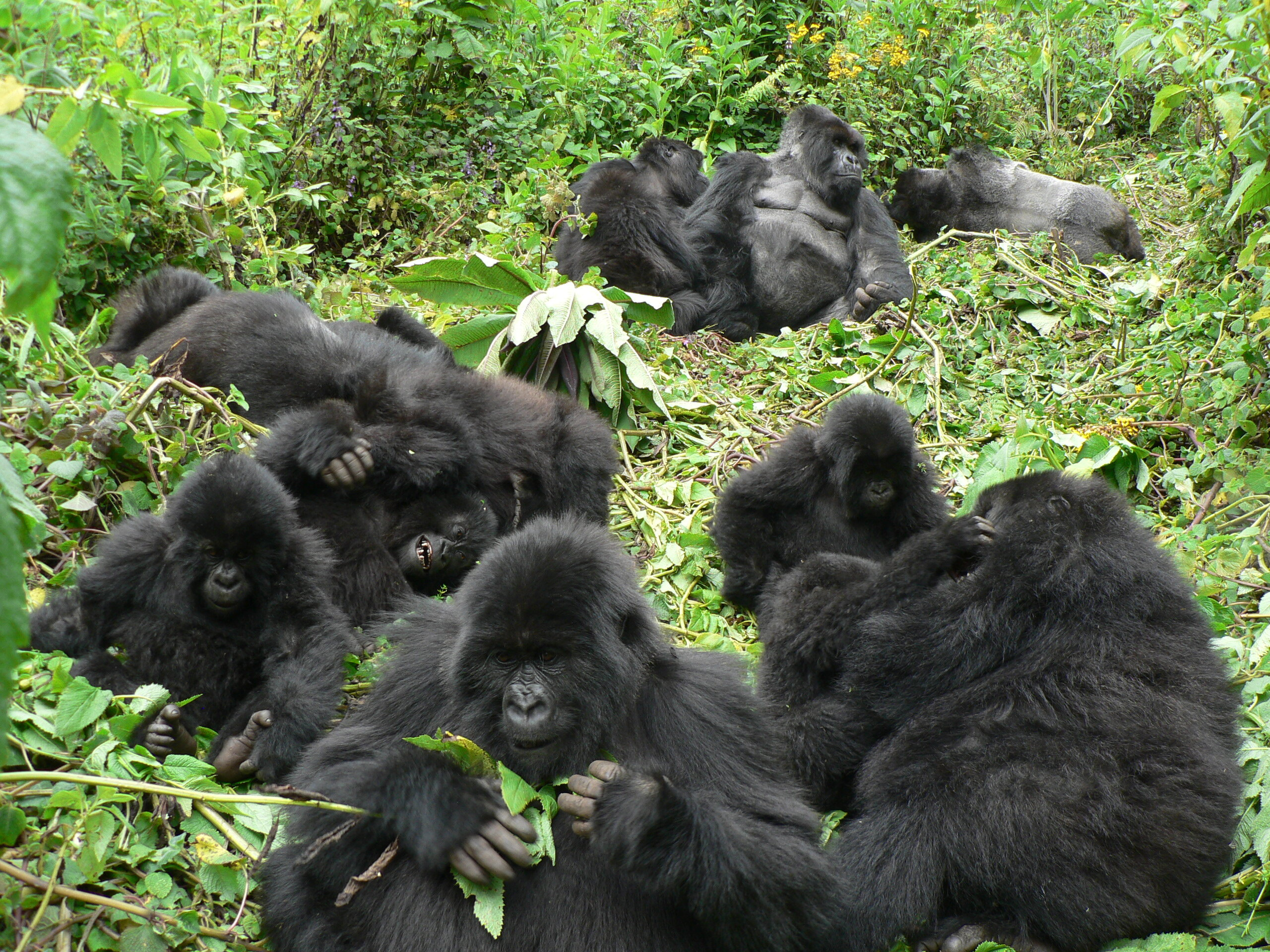 Mountain gorillas are good neighbours—up to a point