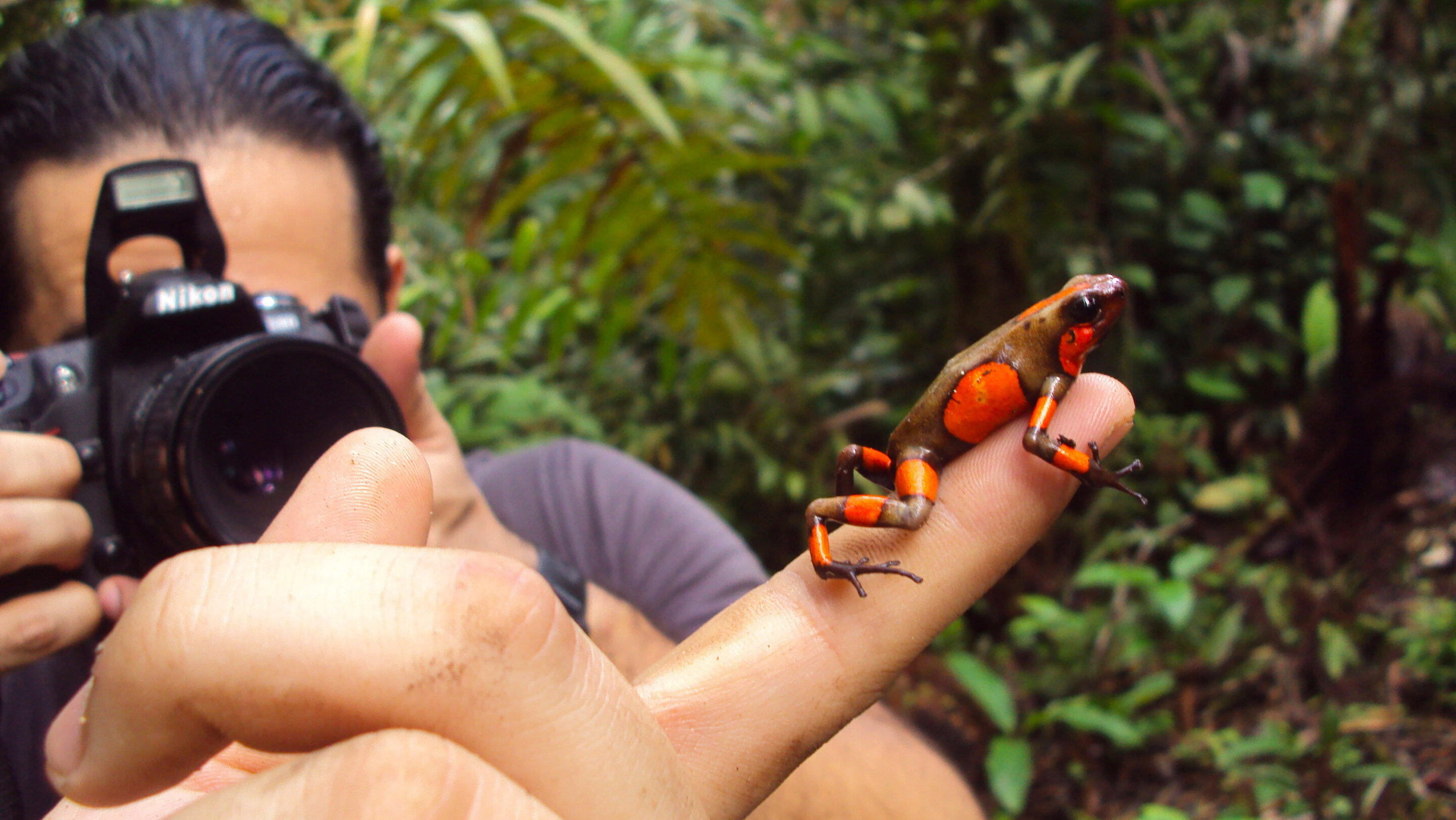 Study reveals origin of endangered Colombian poison frog hybrids