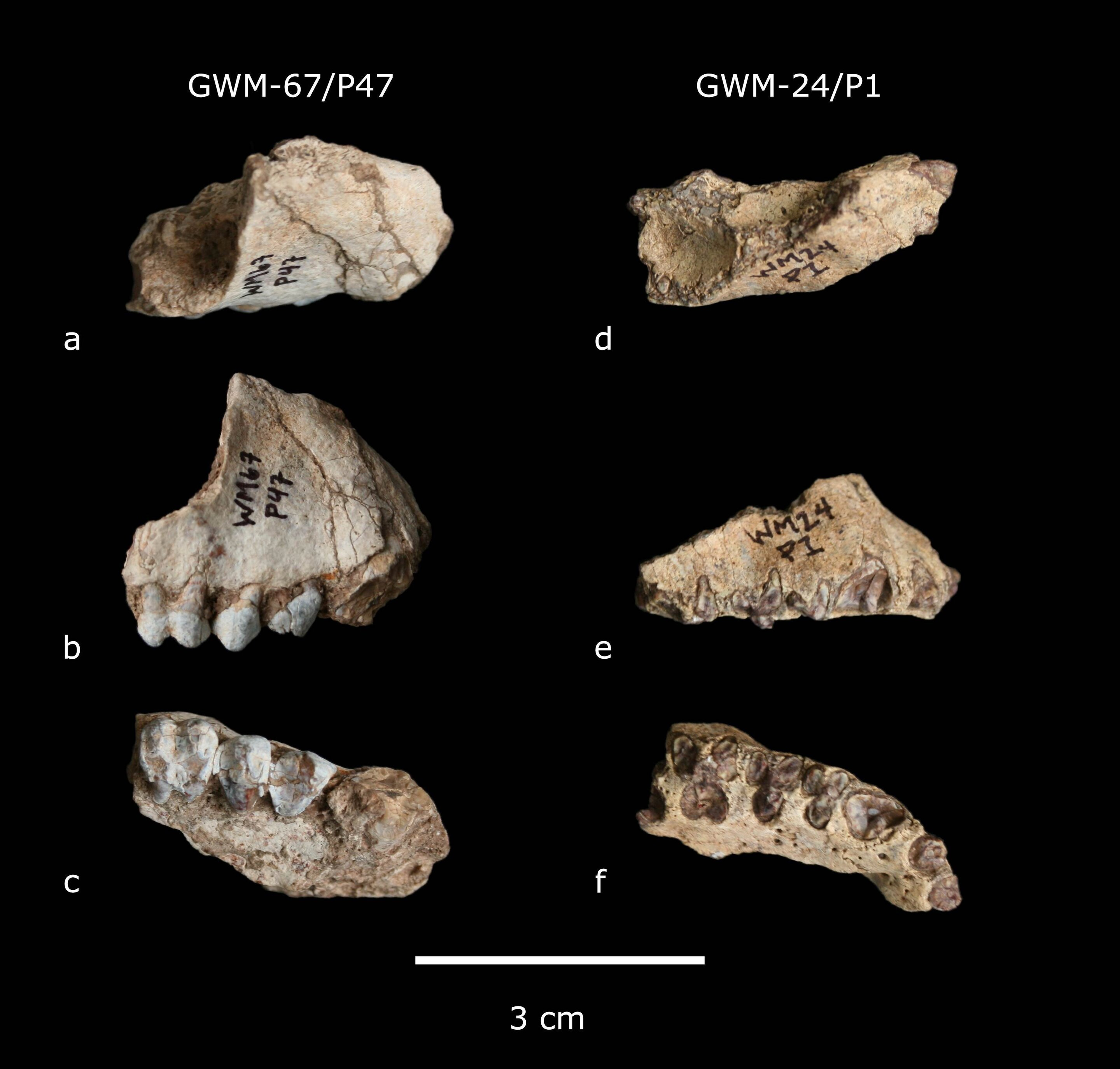 Two new extinct primate species are found in the Ethiopia site of Gona