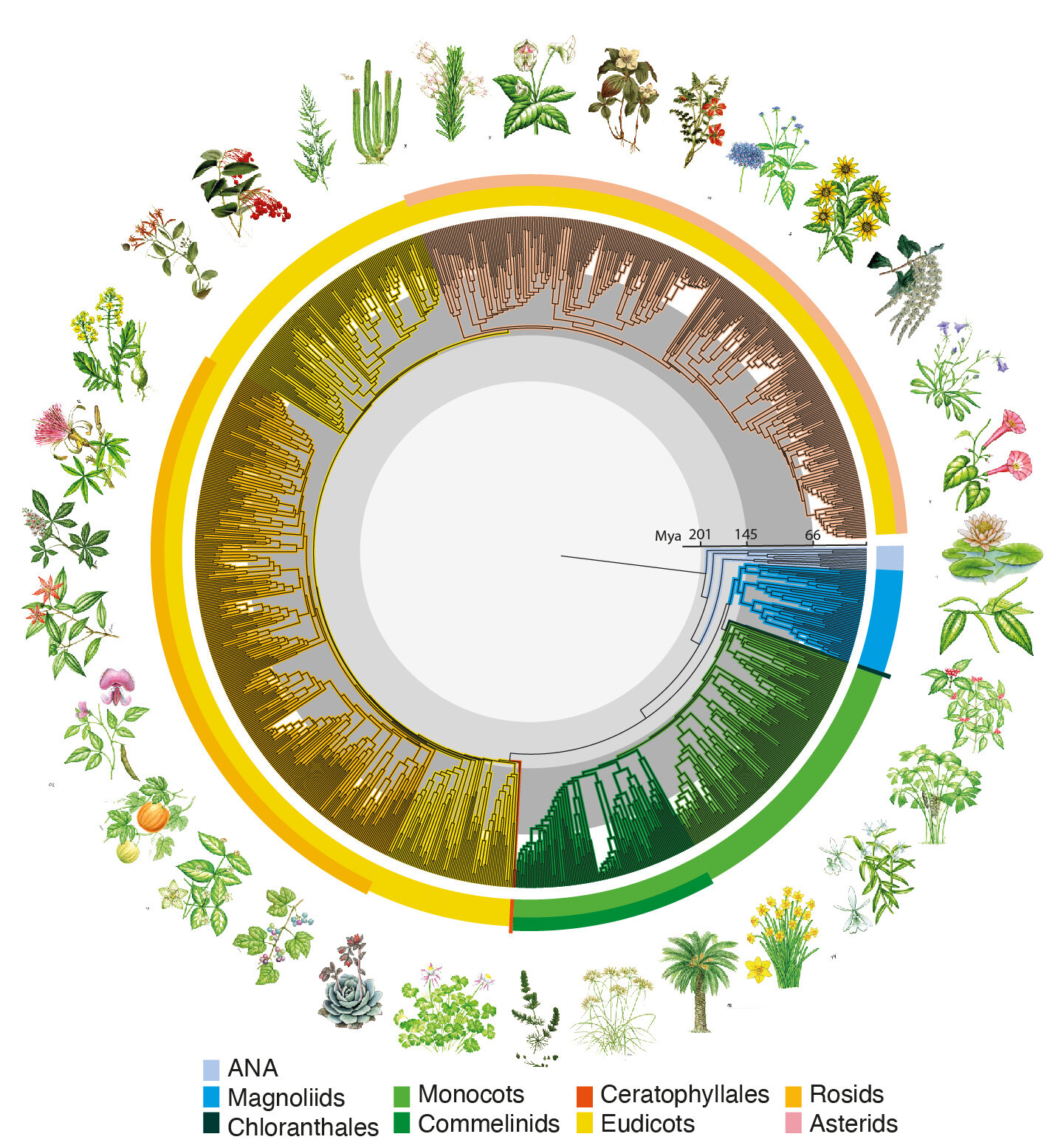 New global study reveals 'time tree' of Earth's flowering plants