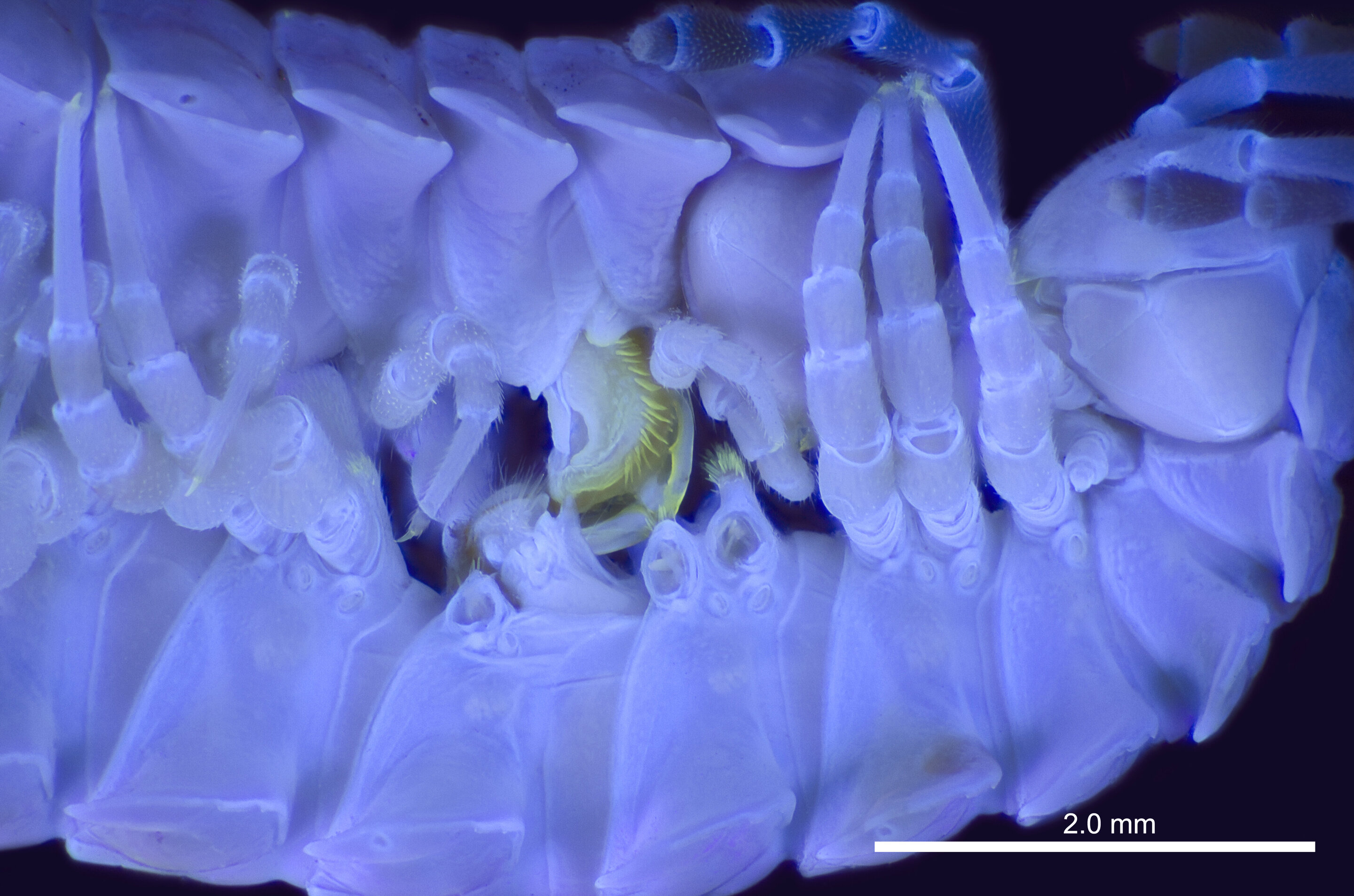 High-tech imaging under UV light shows which parts go where when millipedes mate