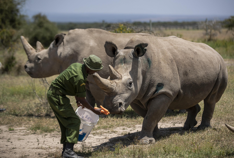 photo of 'Amazing': New embryo made of nearly extinct rhino species image