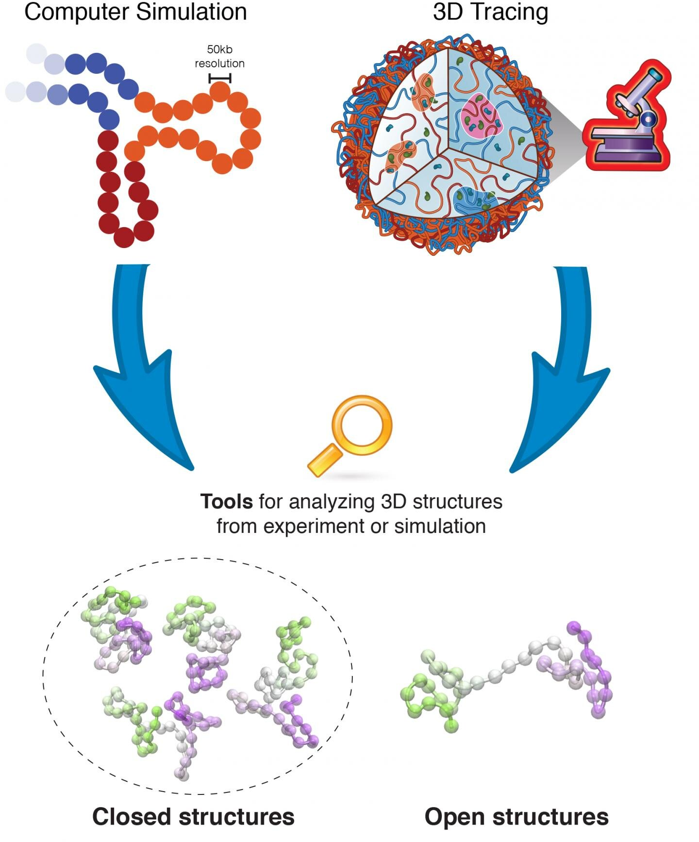 Scientists identify 'dumbbell-like' structures of protein-encoding DNA