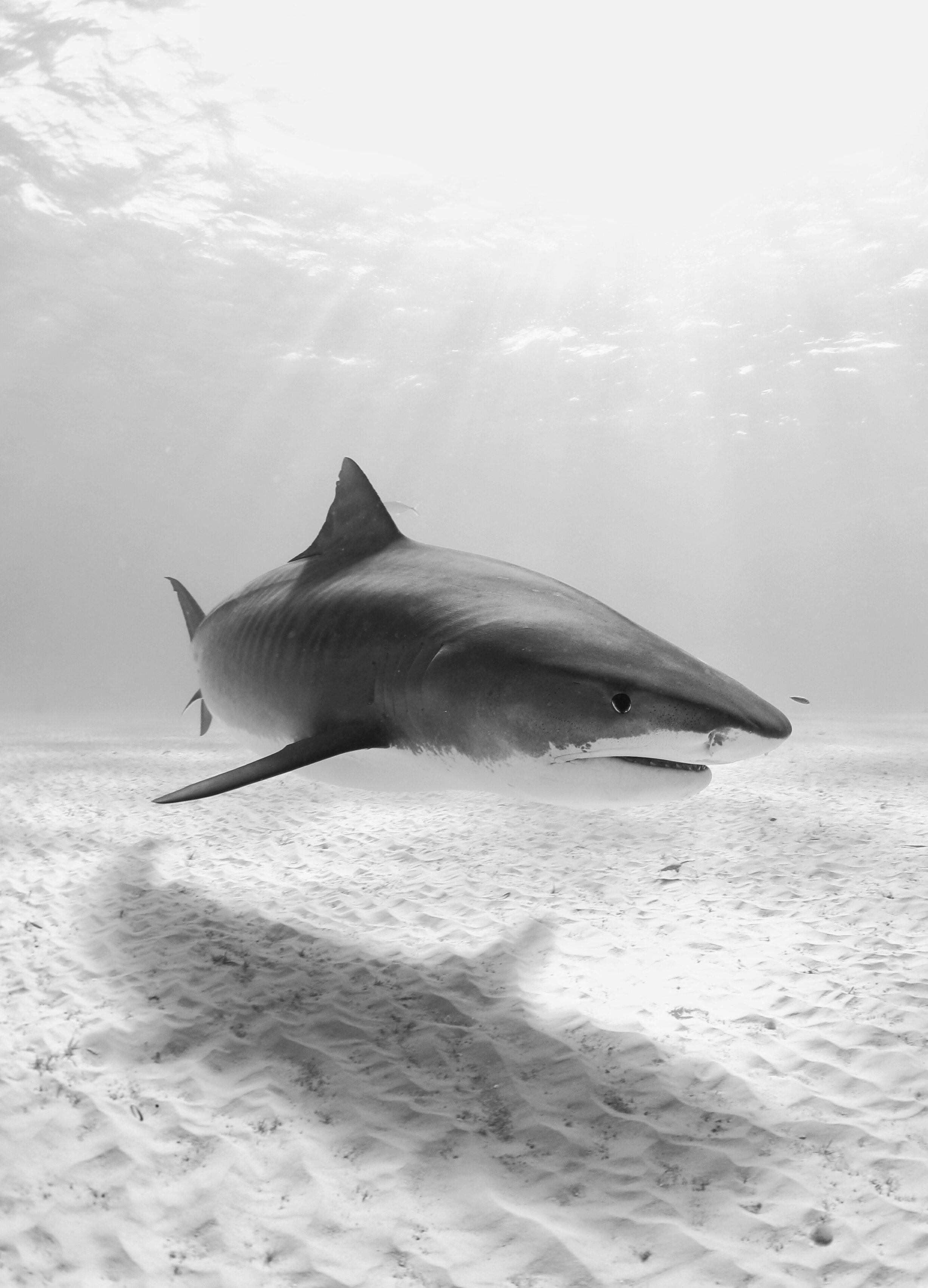 photo of Caribbean sharks in need of large marine protected areas image