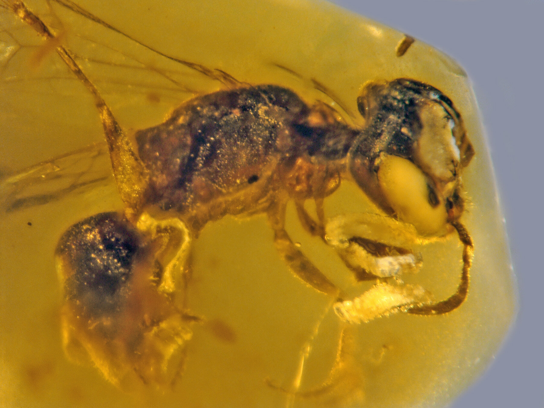 Fossilized insect from 100 million years ago is oldest record of primitive bee with pollen