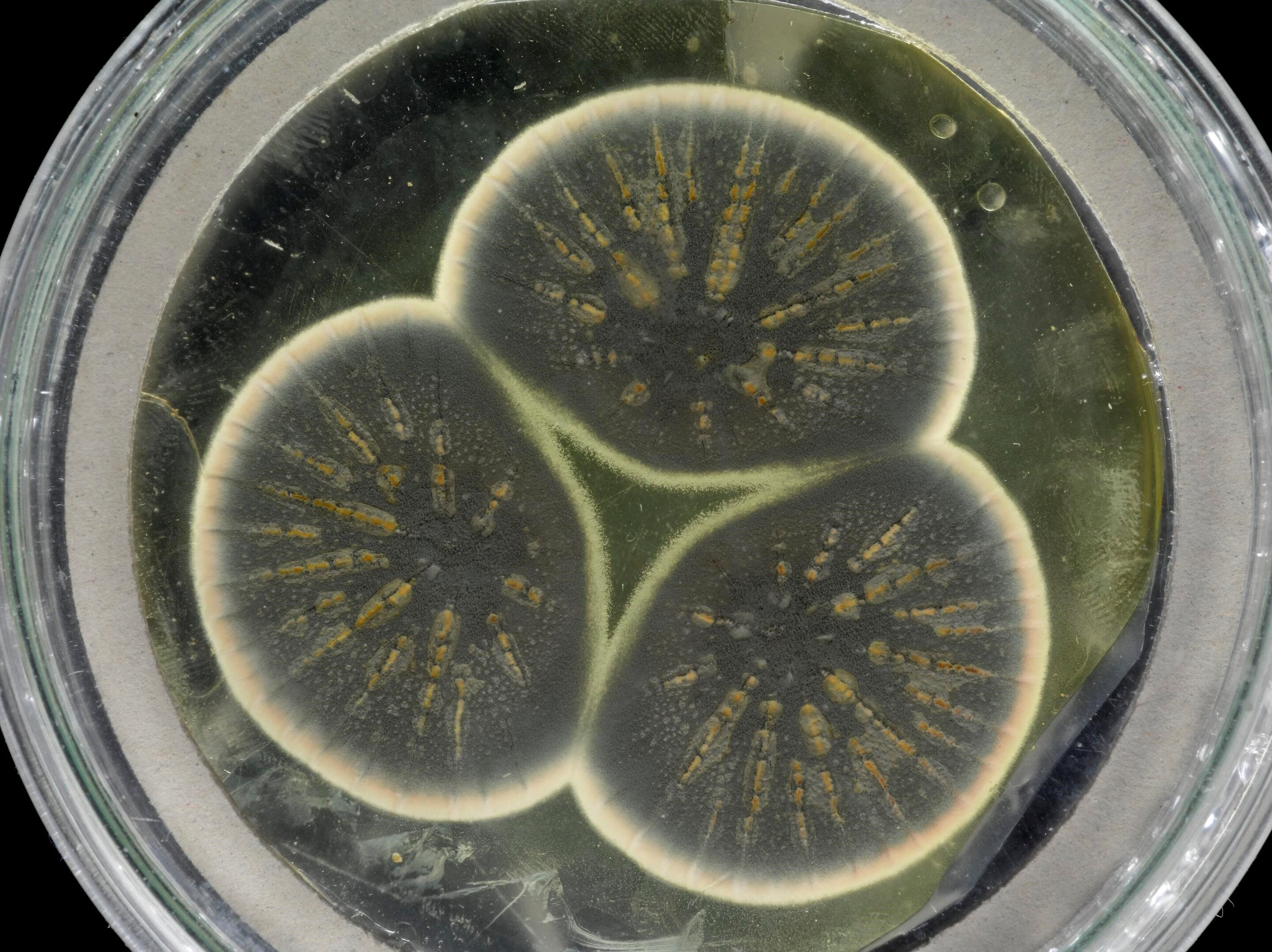 Fig: Mould regrown from Fleming's frozen sample. Credit: CABI