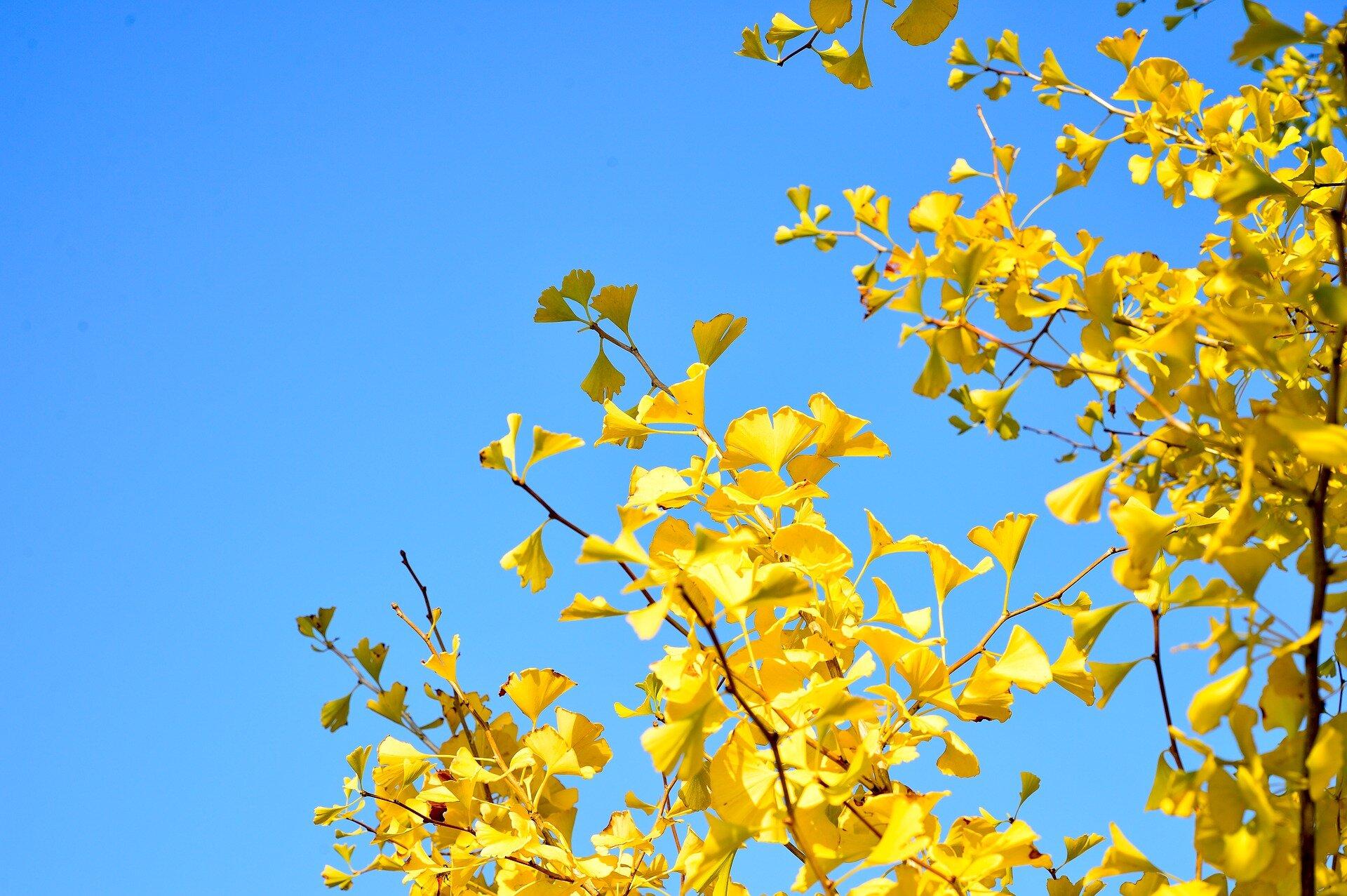 photo of RNA provides clues to explain longevity of ginkgo trees image