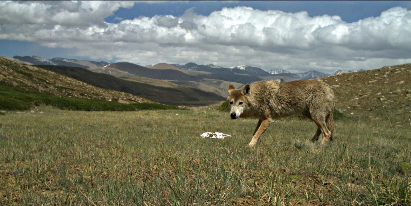 Himalayan wolf discovered to be a unique wolf adapted to harsh high altitude life