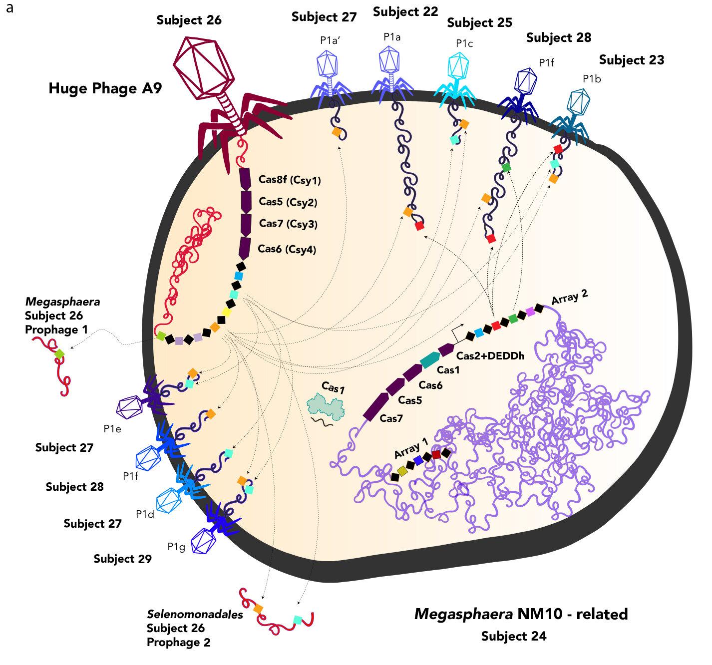 Huge bacteria-eating viruses close gap between life and non-life