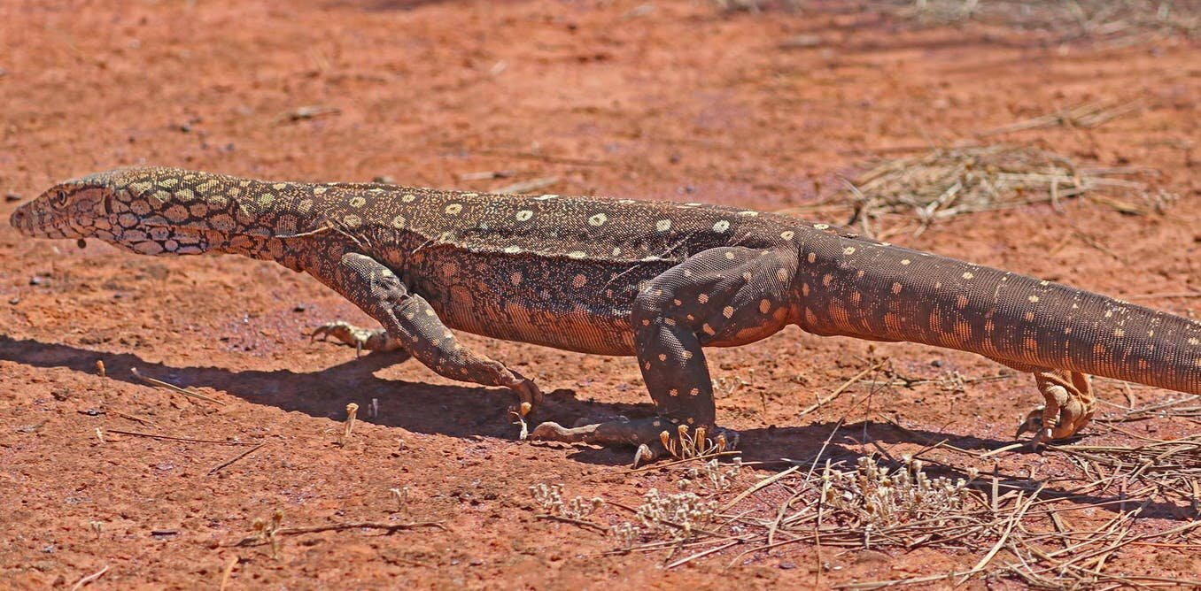 I walked 1,200 kilometers in the outback to track huge lizards